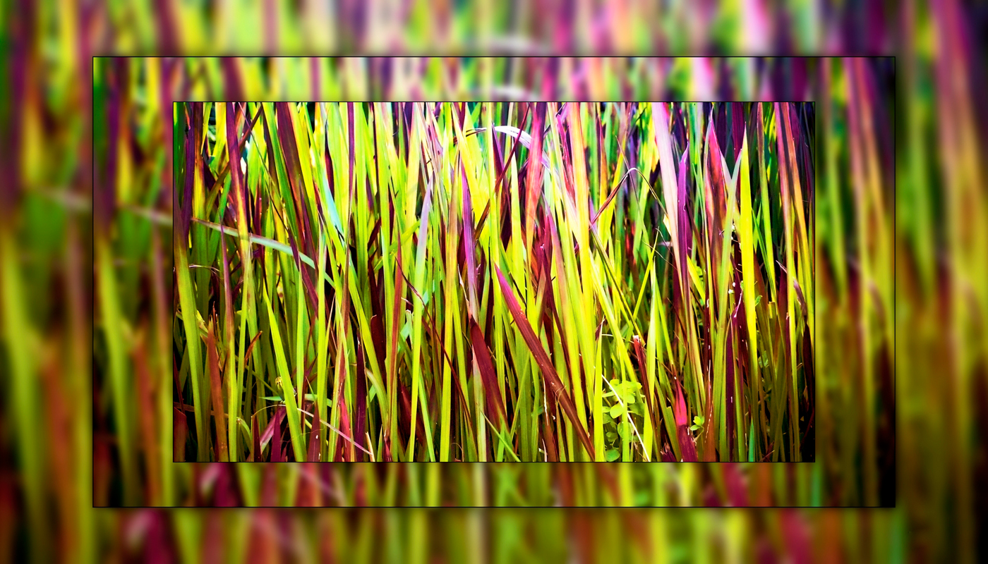 A rainbow of grass