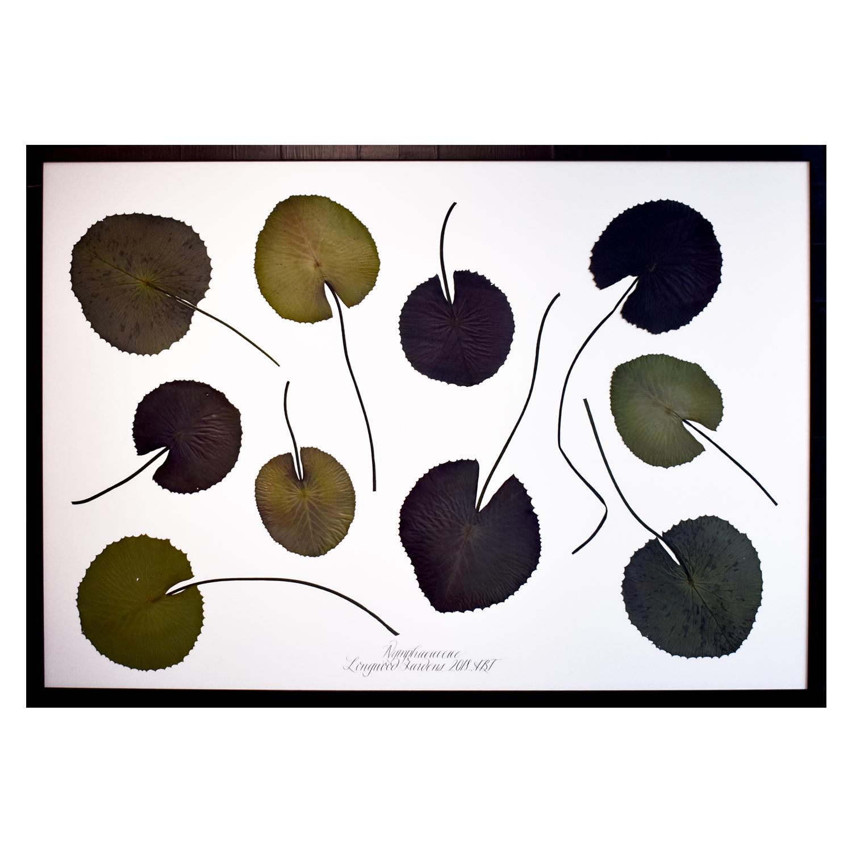 Copy of Nymphaeaceae