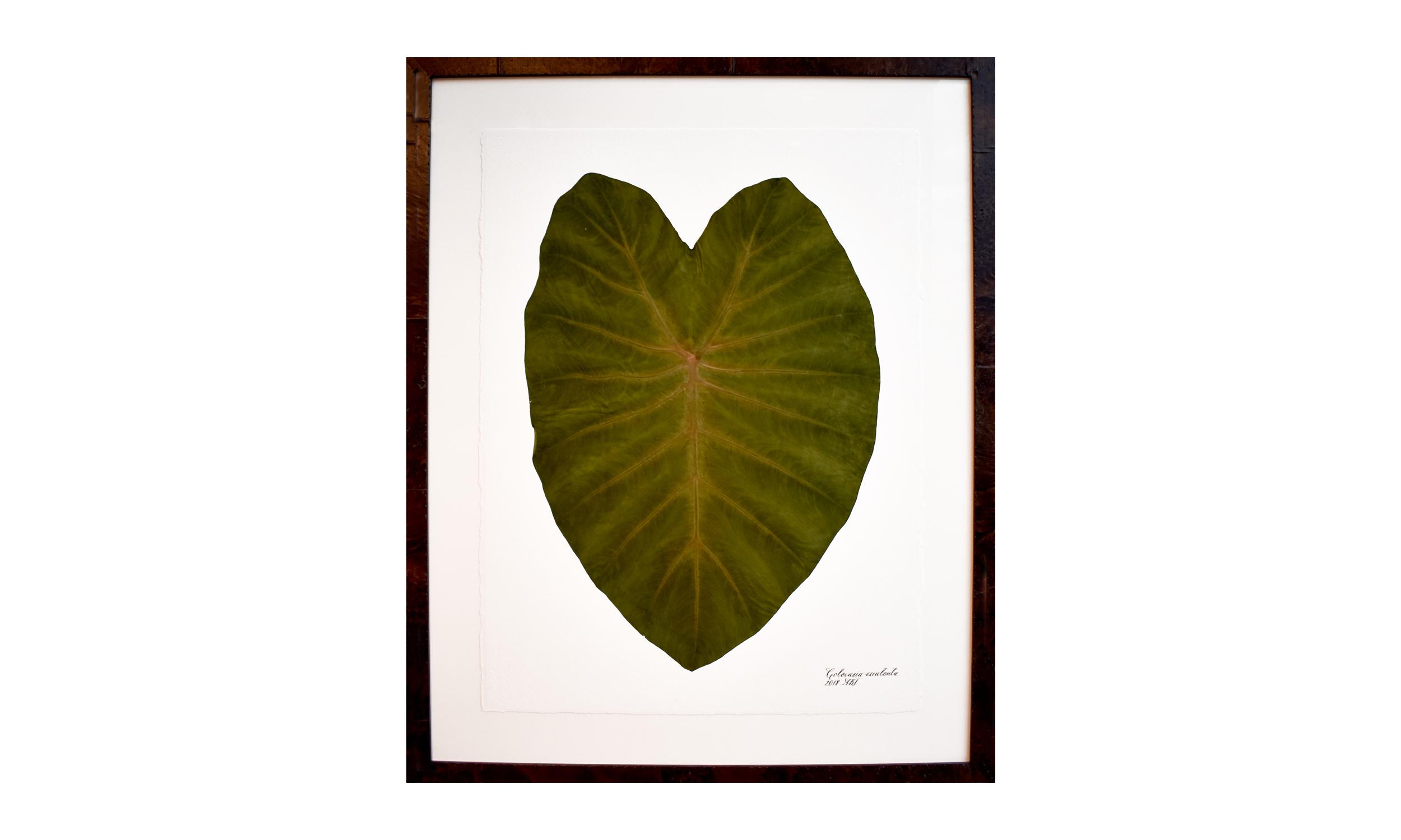 Colocasia escuelenta,  30.5 x 37.25 inches, $ 3,200    Contact us for purchase