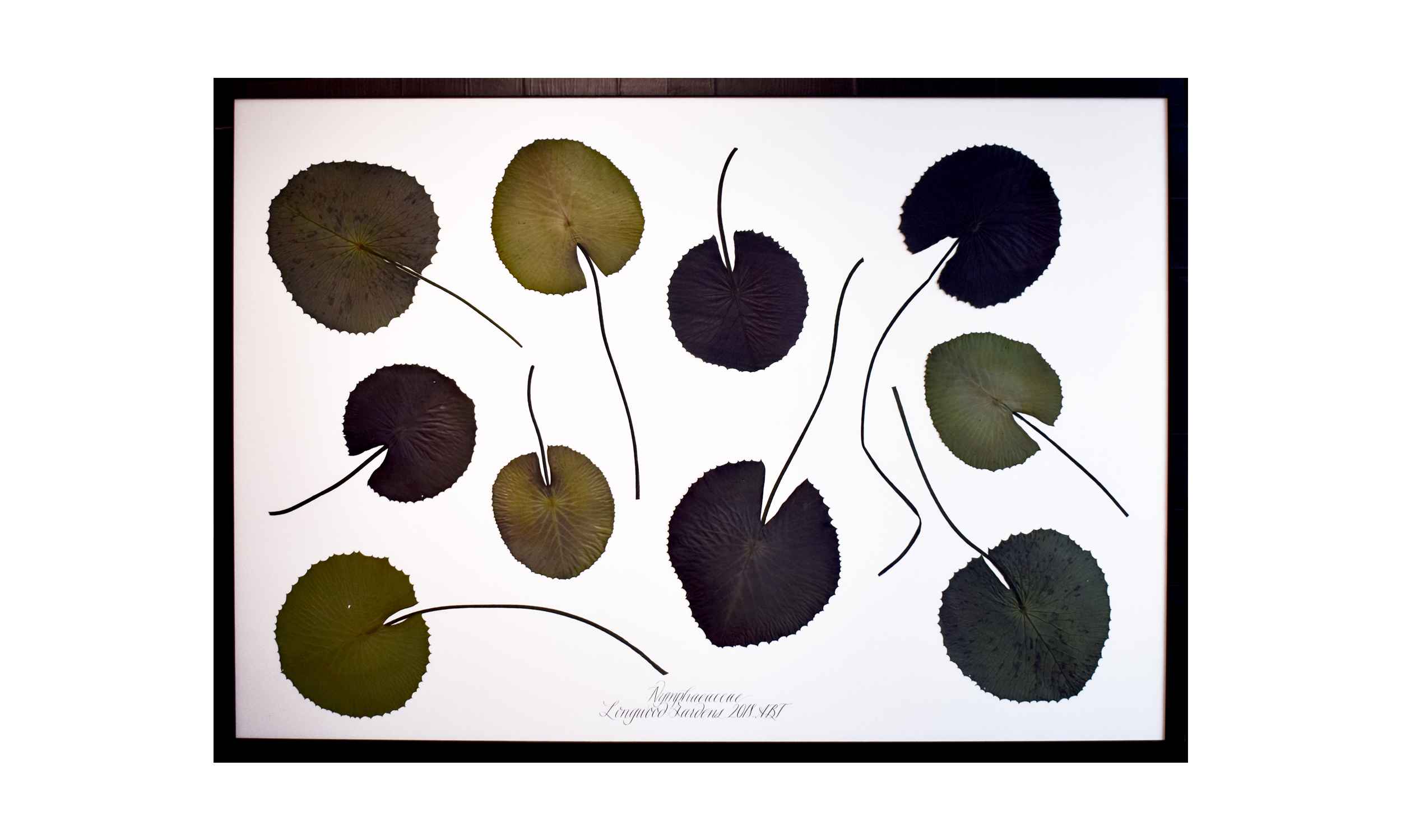 Nymphaeaceae,  49 x 70.5 inches, $ 5,800 SOLD