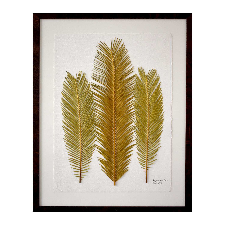 Copy of Cycas revoluta