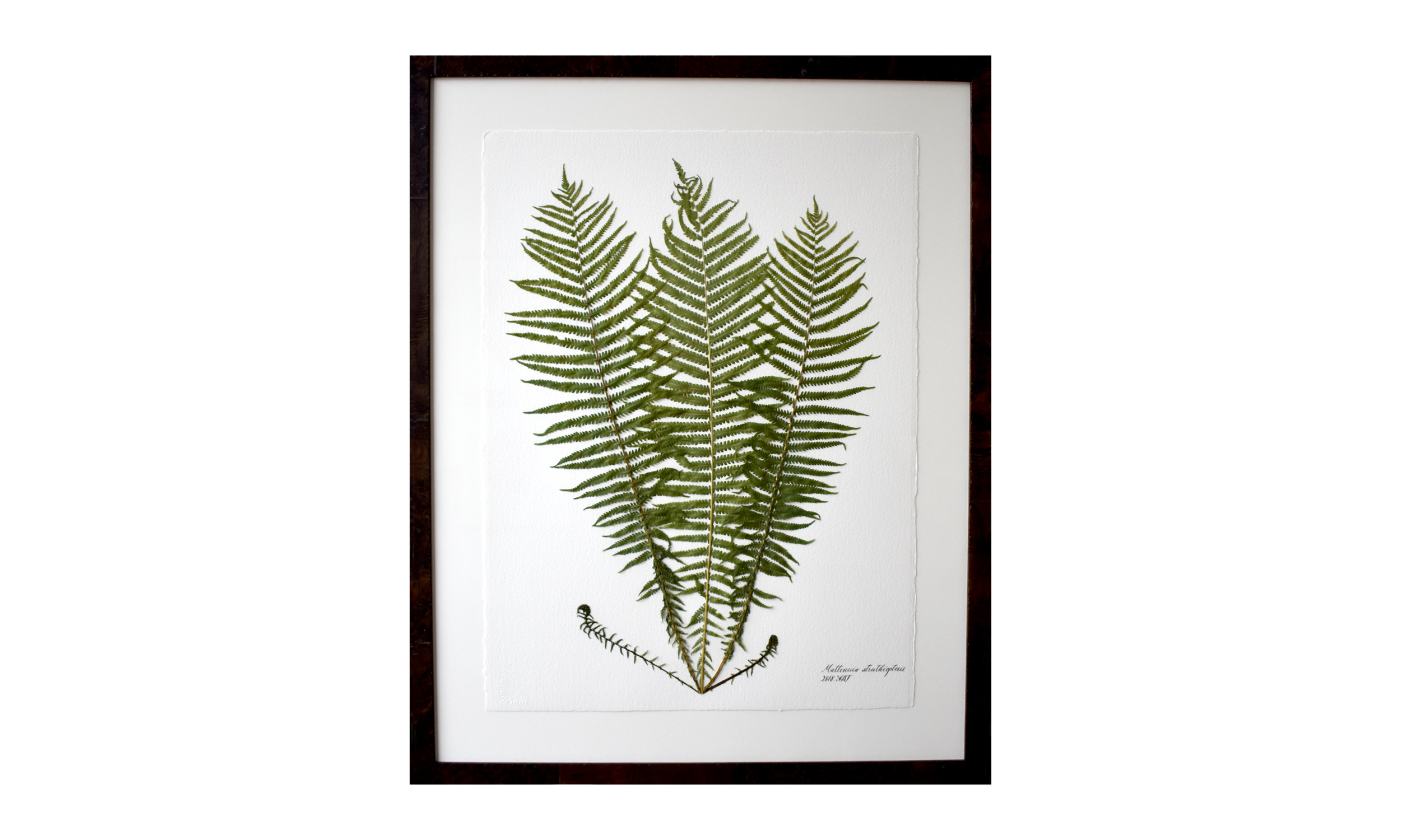 Matteuccis struthiopteris,  30.5 x 37.25 inches, $ 3,100 SOLD