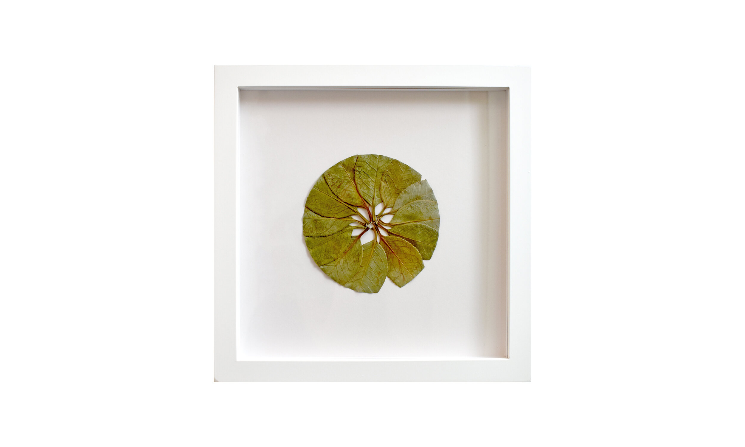 """Implications , camellia leaves, 11.25"""" x11.25"""", framed $ 650    Contact us for purchase"""