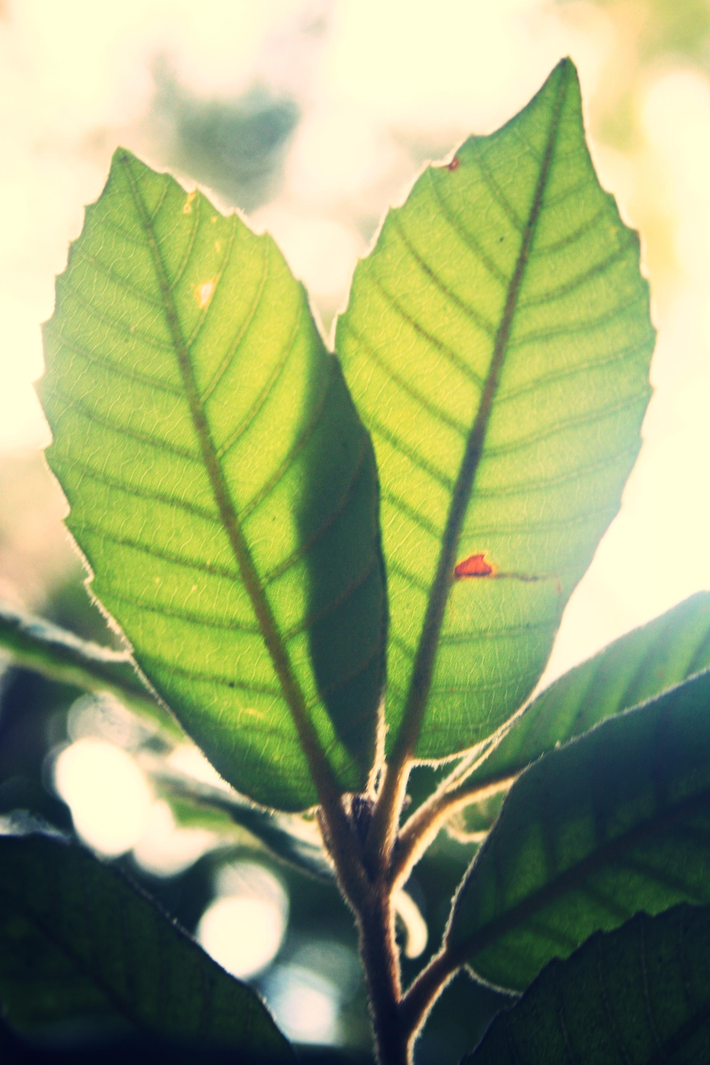 Coastal subspecies of Tanbark oak, Notholithocarpus densiflorus (Fagaceae)