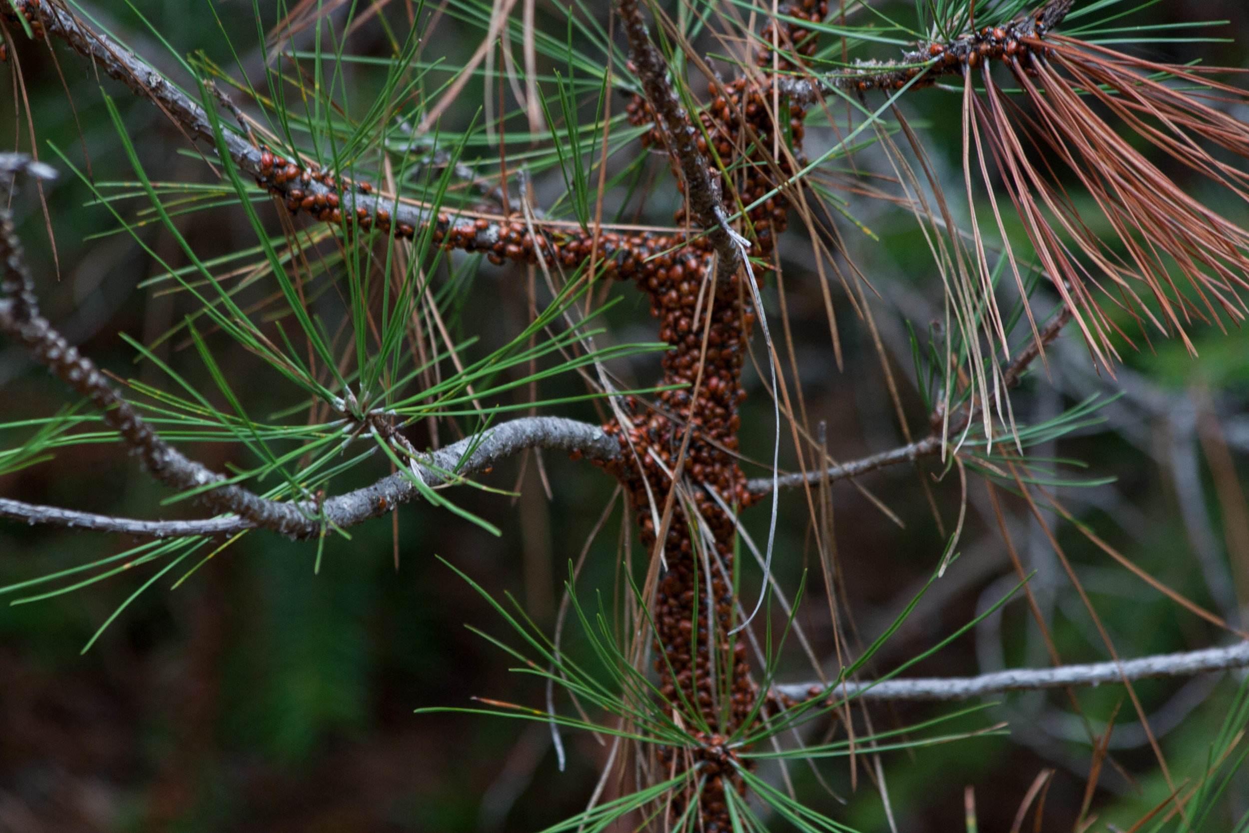 Ladybug takeover of a small Pine tree. Humbug Trail. Malakoff Diggins State Park, CA.