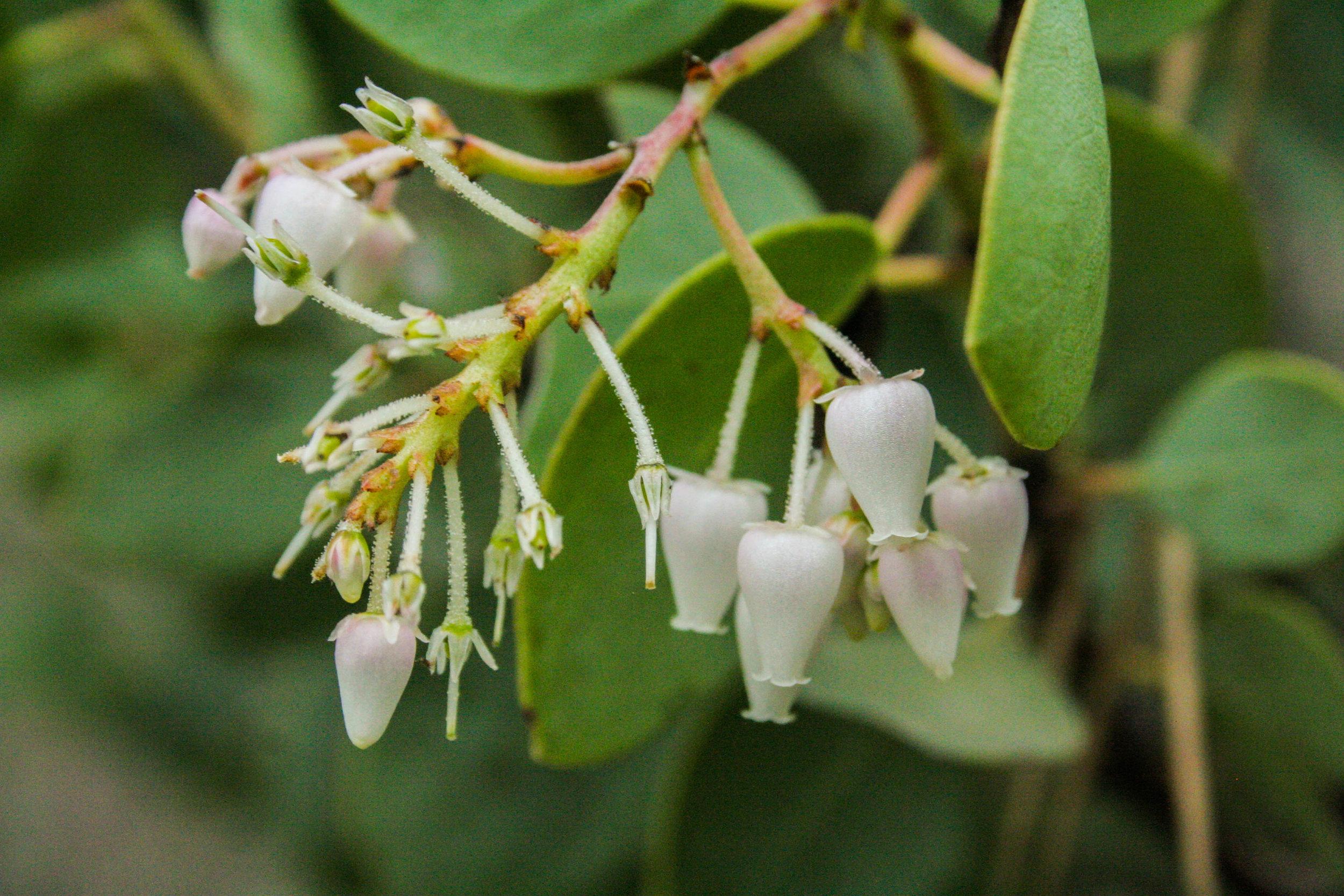 Manzanita flowering.