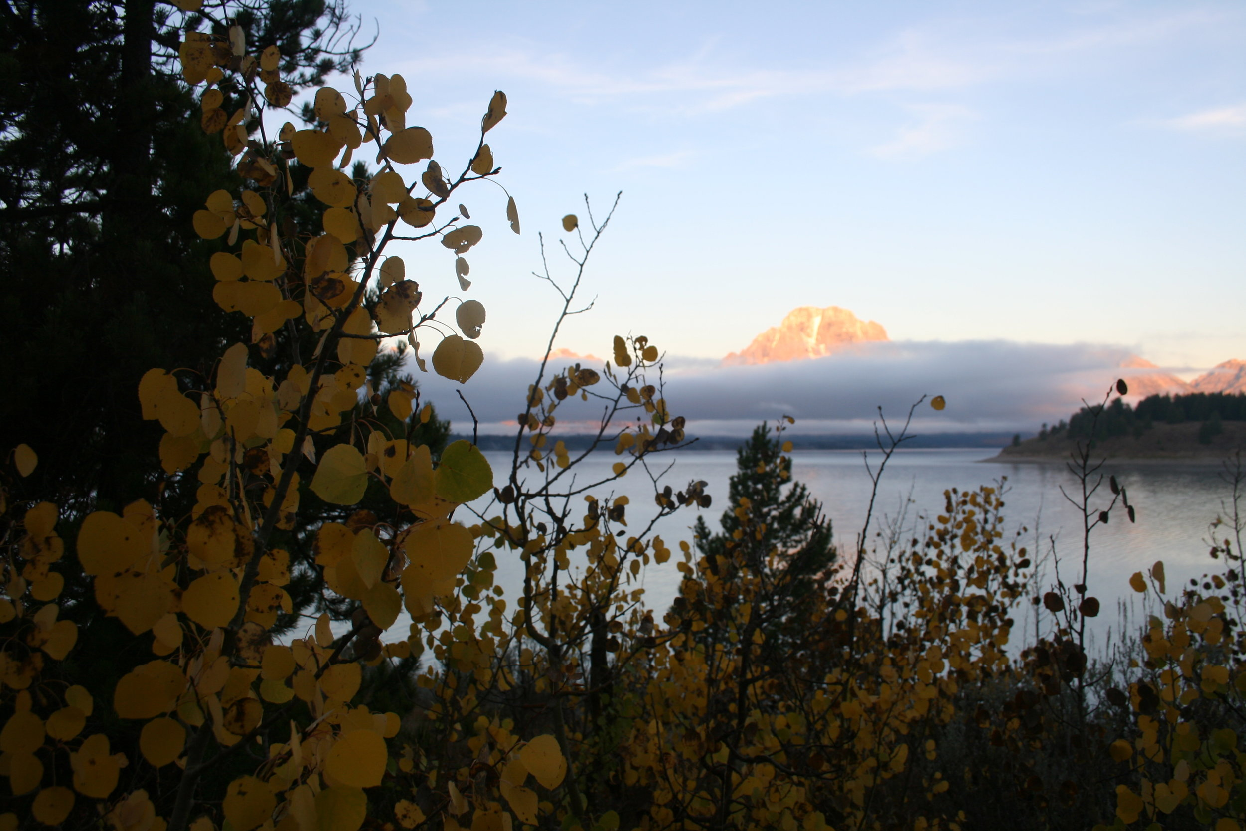 Cottonwood by the lake, camping in the Grand Tetons, WY (I call all the Populus species Cottonwood)