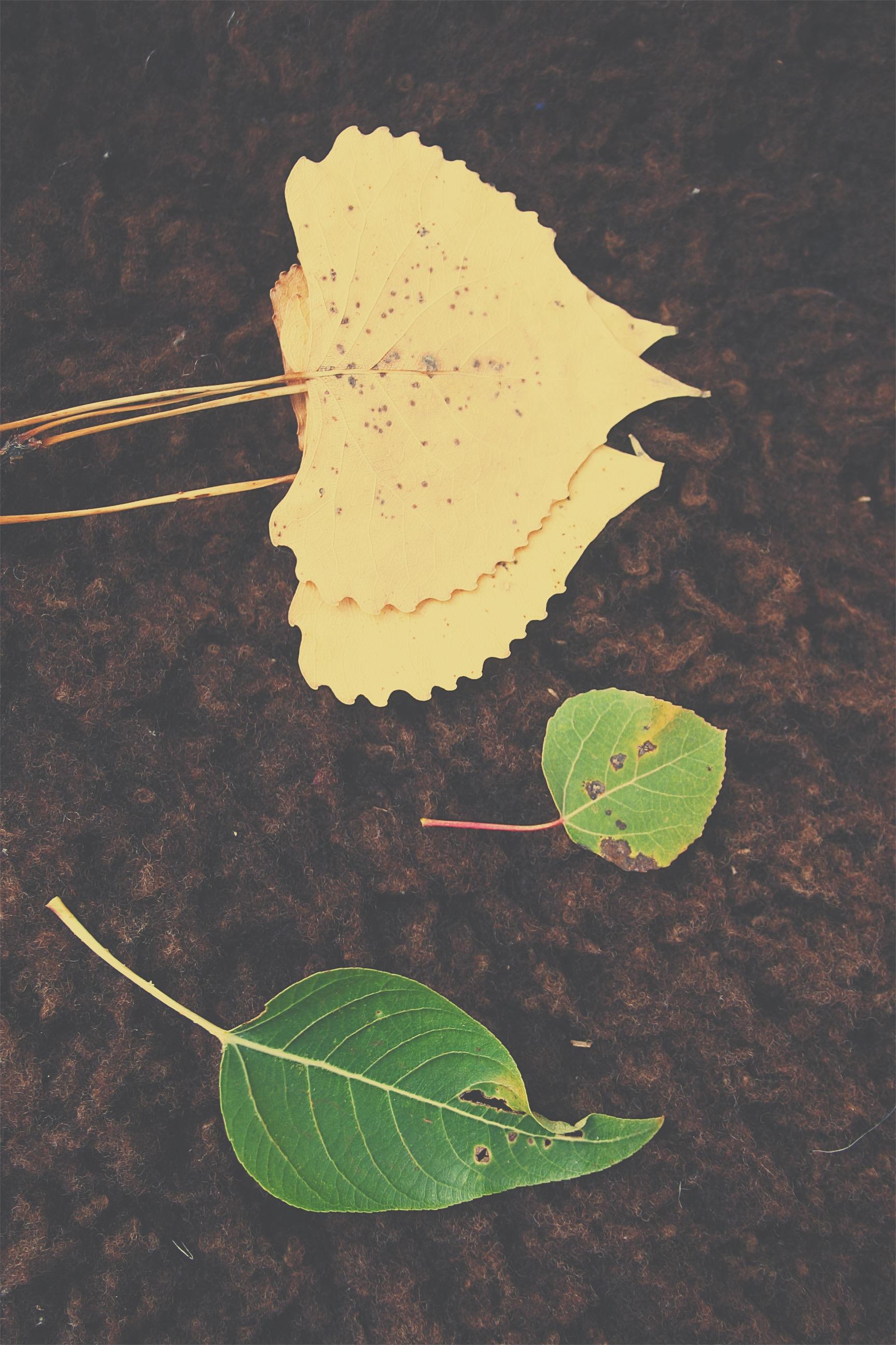 Several Populus species.