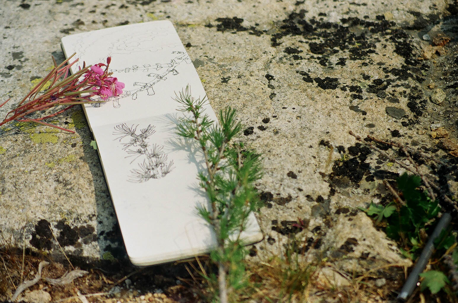 Shots of botanical drawing on the Signal Fire WOS trip, Pentax film.