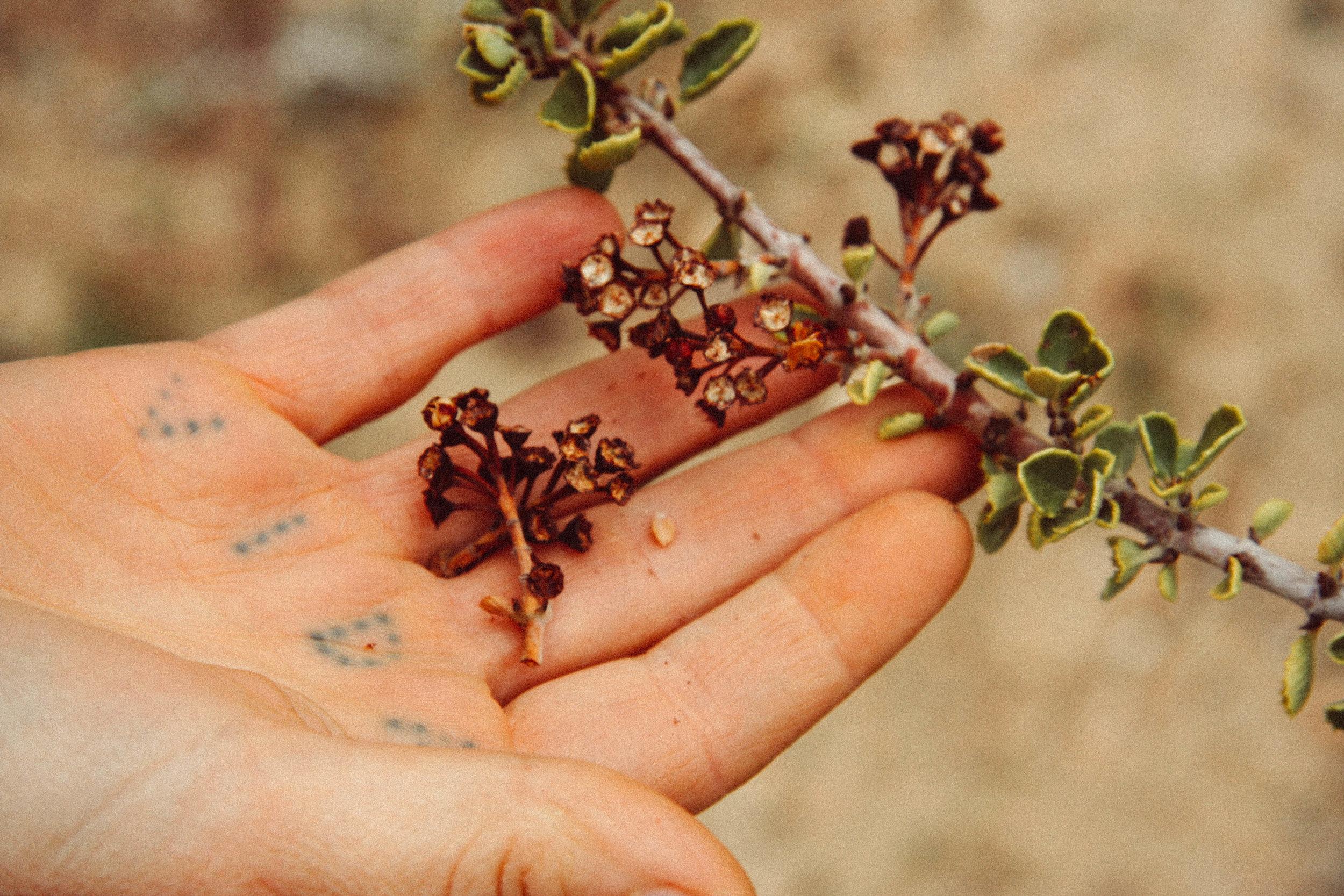 Peri Lee and  Ceanothus greggii,  near Pioneertown, CA