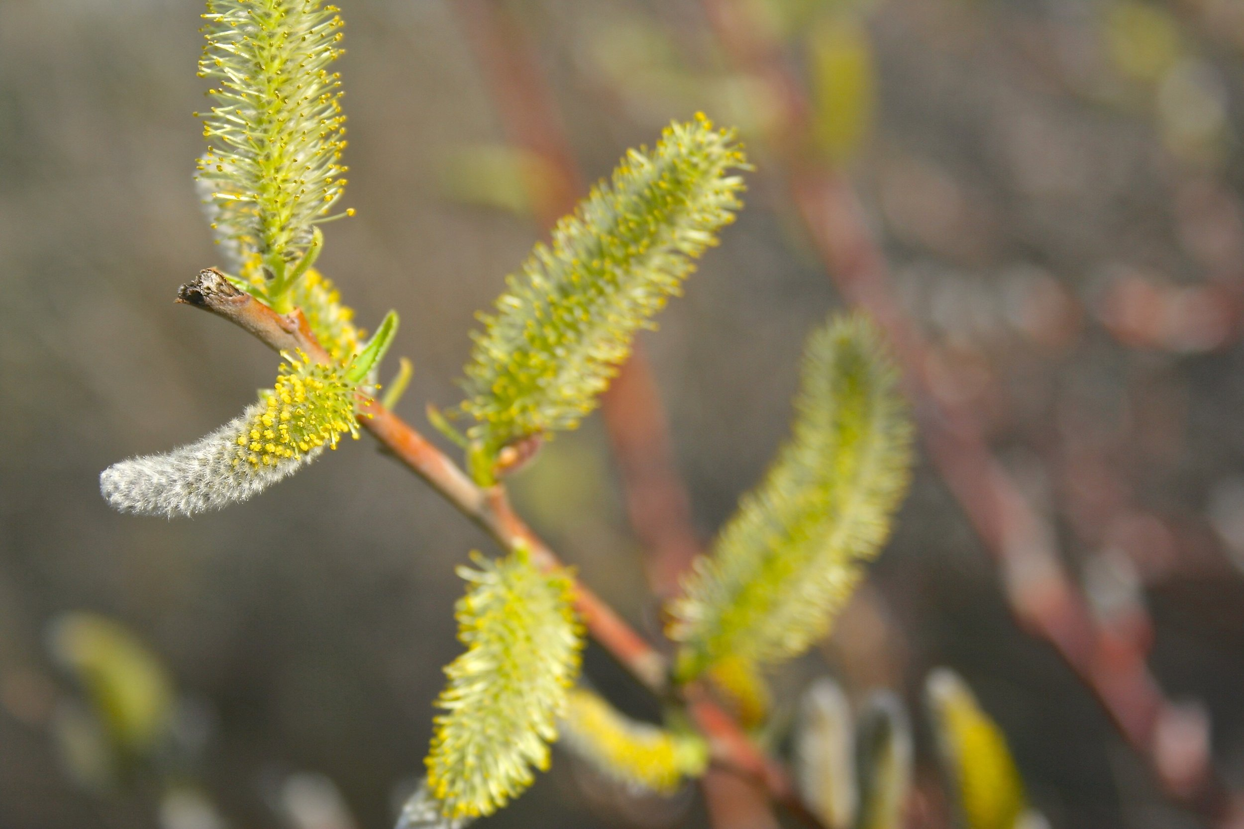 Salix sp.  near North San Juan, CA. 2015.