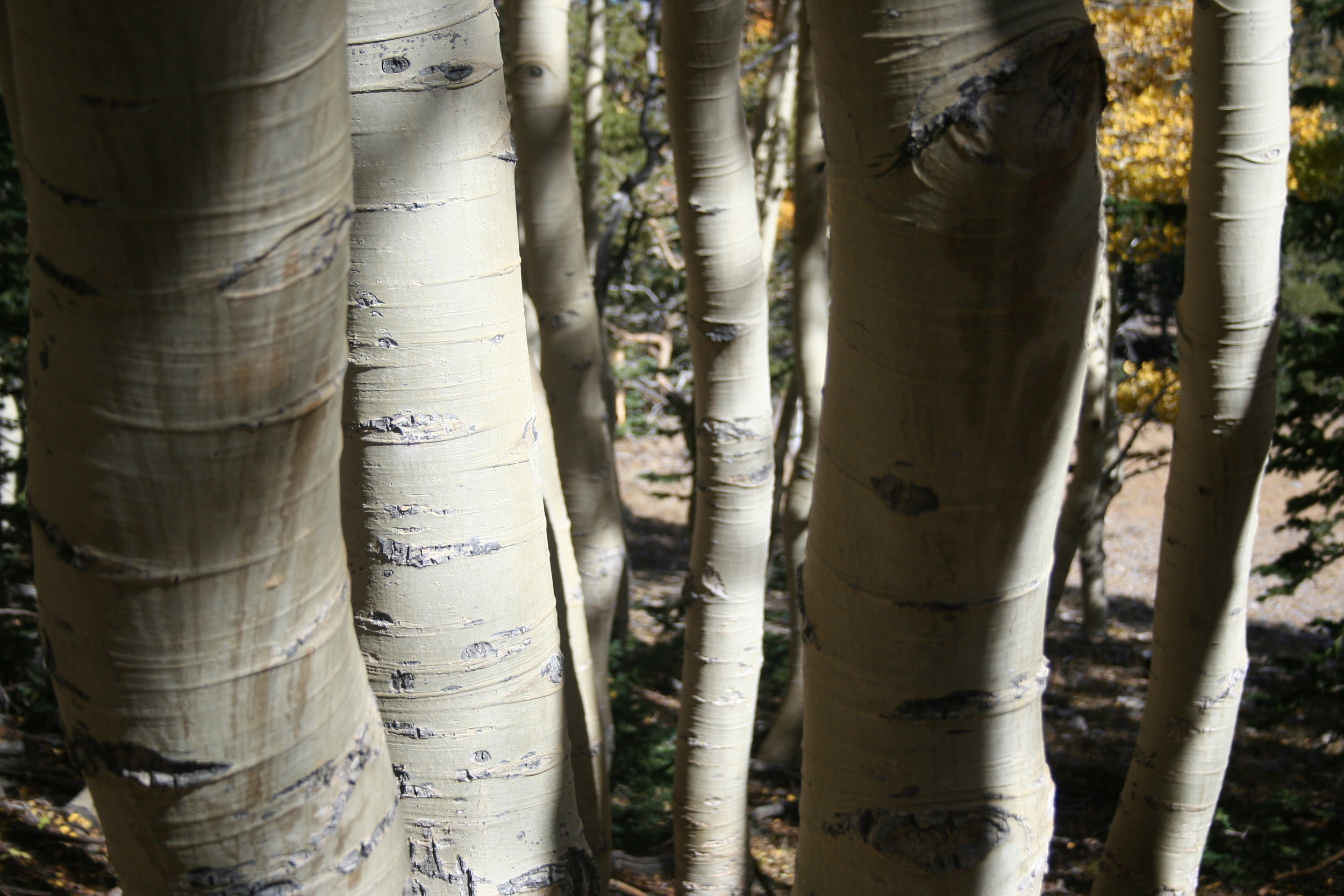 Aspen bark in a grove at high elevation, Great Basin National Park, Nevada, 2016.