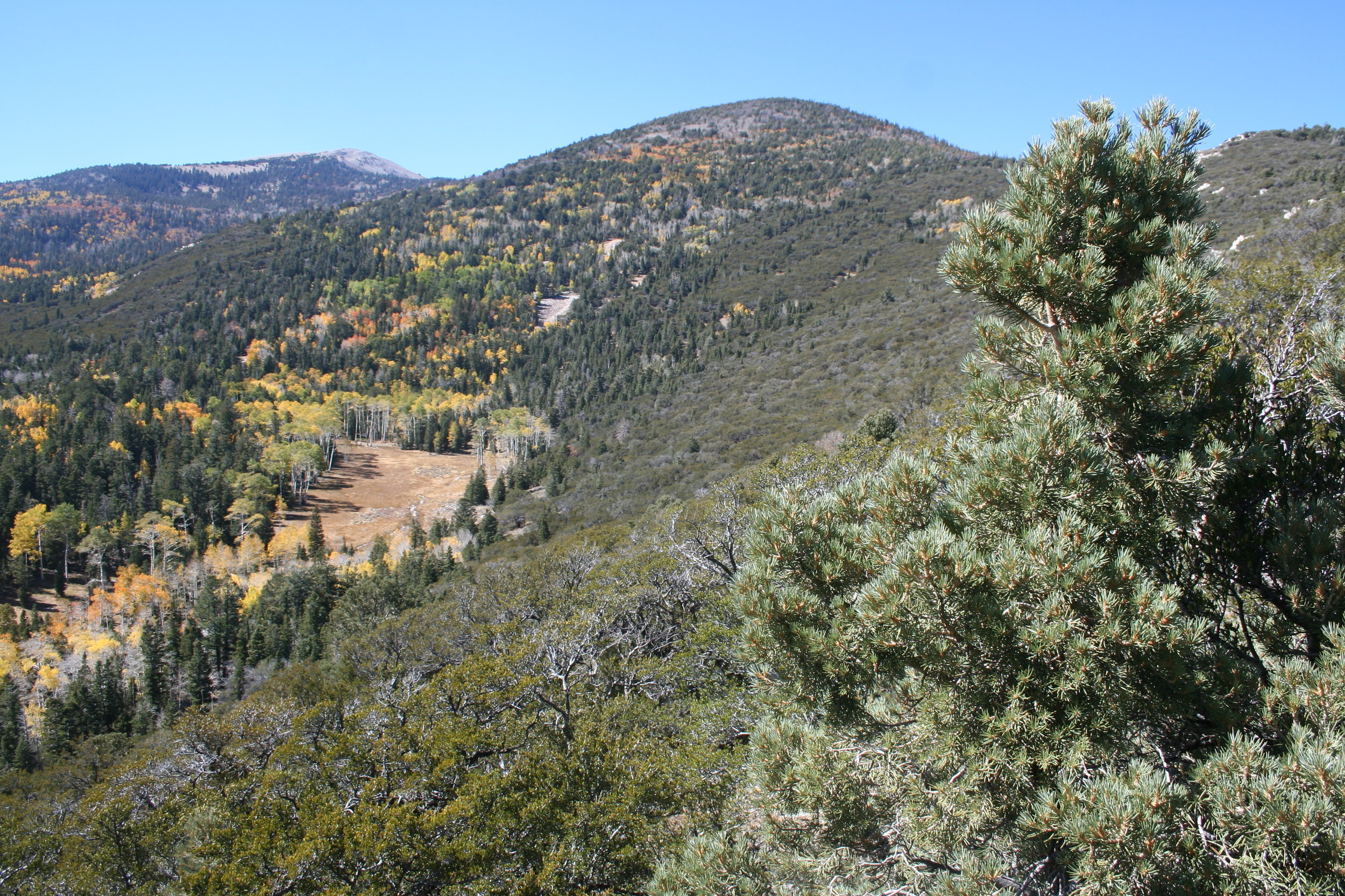 Aspens showing fall color among the conifers including Juniper, Pinon Pine and Limber Pine. Great Basin National Park, Nevada. 2016. One of my favorite places on earth!