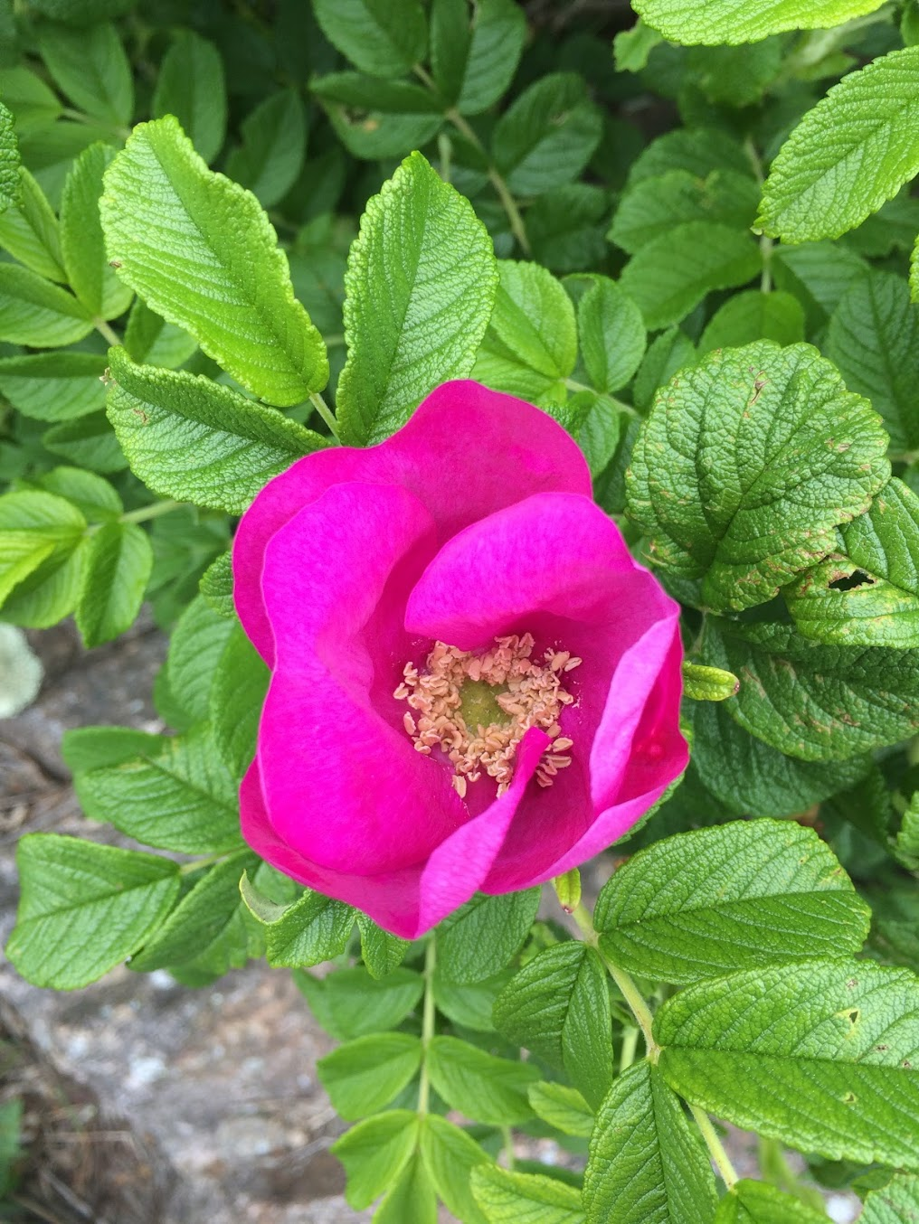 Rosa rugosa.  Photo by Megan Matthers of  Heart Hand Land.