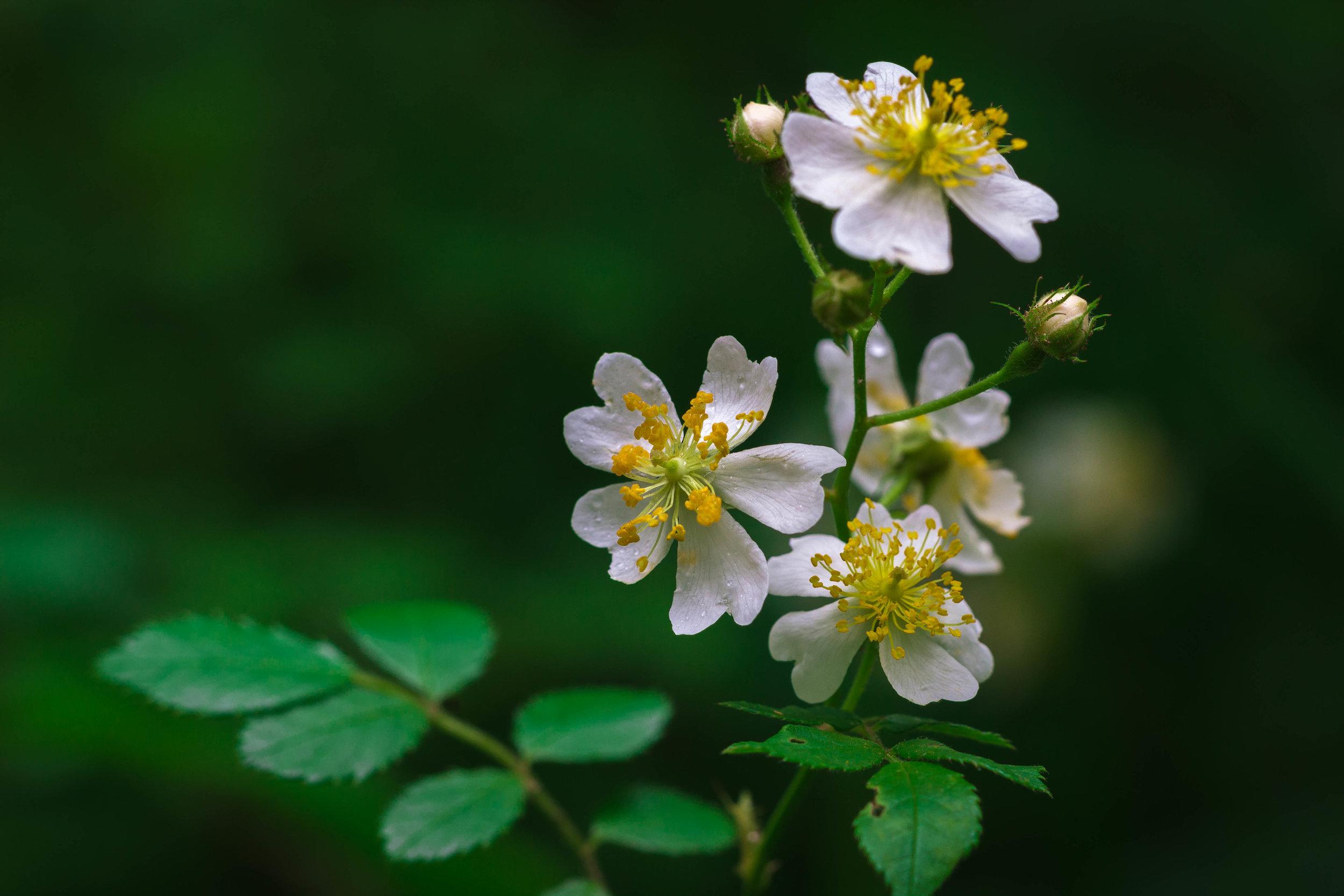 Rosa multiflora. Photo by  Augustus Rushing.