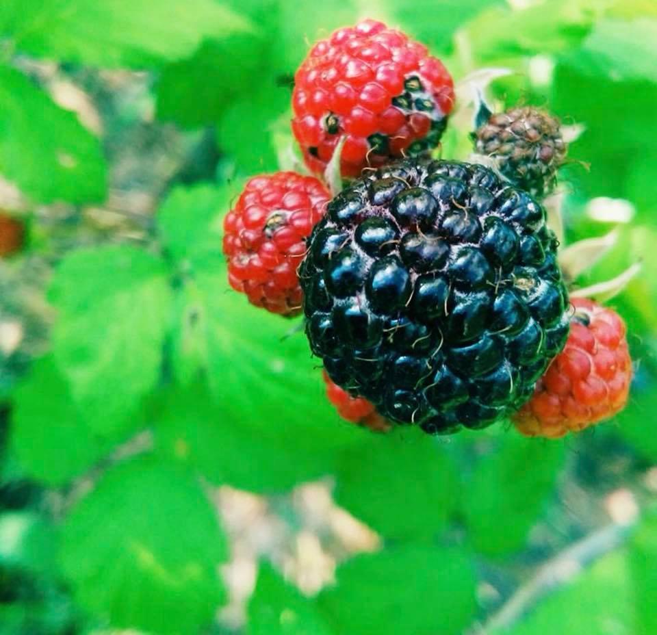 Black Raspberry, photo by Nina Davis.