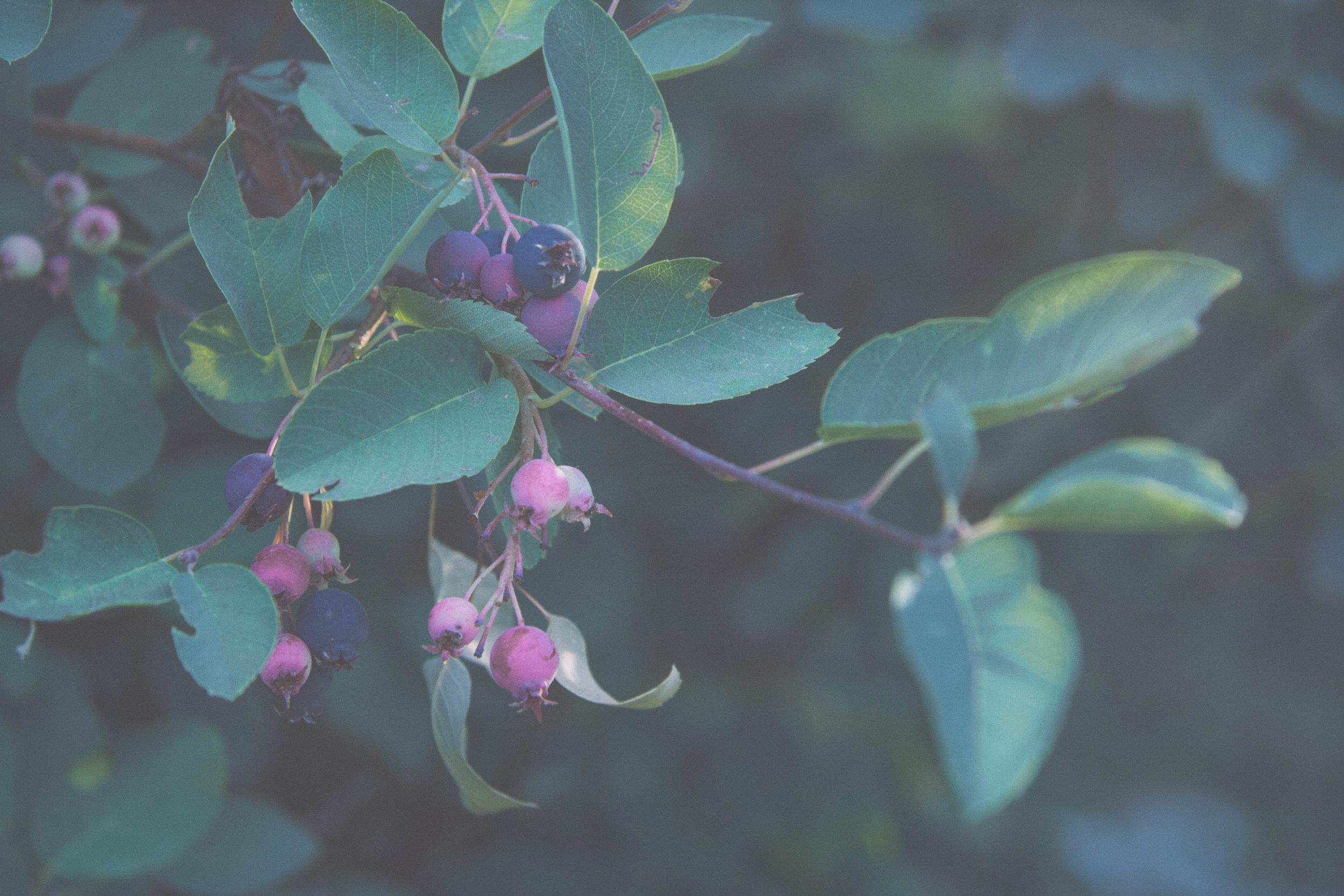 Serviceberry,  Amelanchier sp.  in northern Idaho, Summer 2017. (Rosaceae)