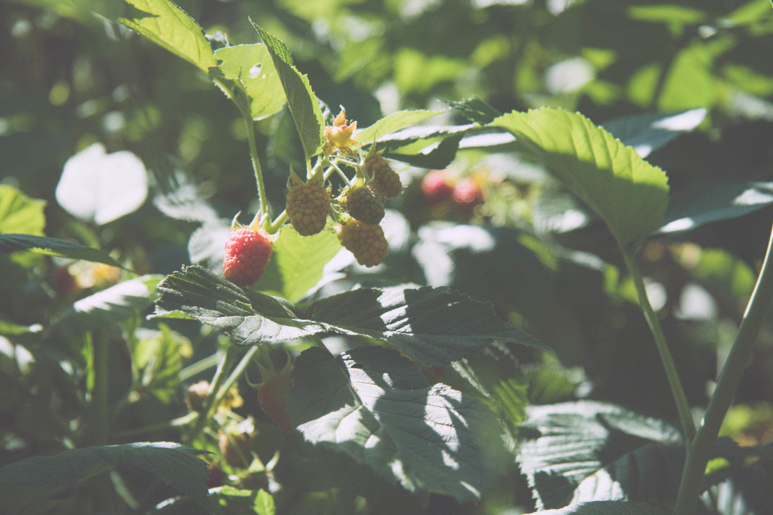 Raspberries at Jim and Melody Croft's homestead in northern Idaho, summer 2017.