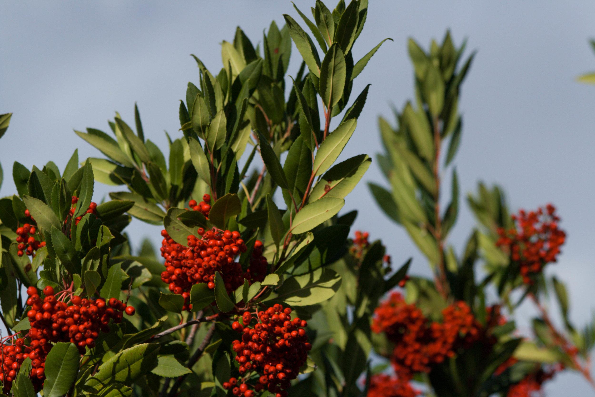 Toyon  Heteromeles arbutifolia,  (Rosaceae)