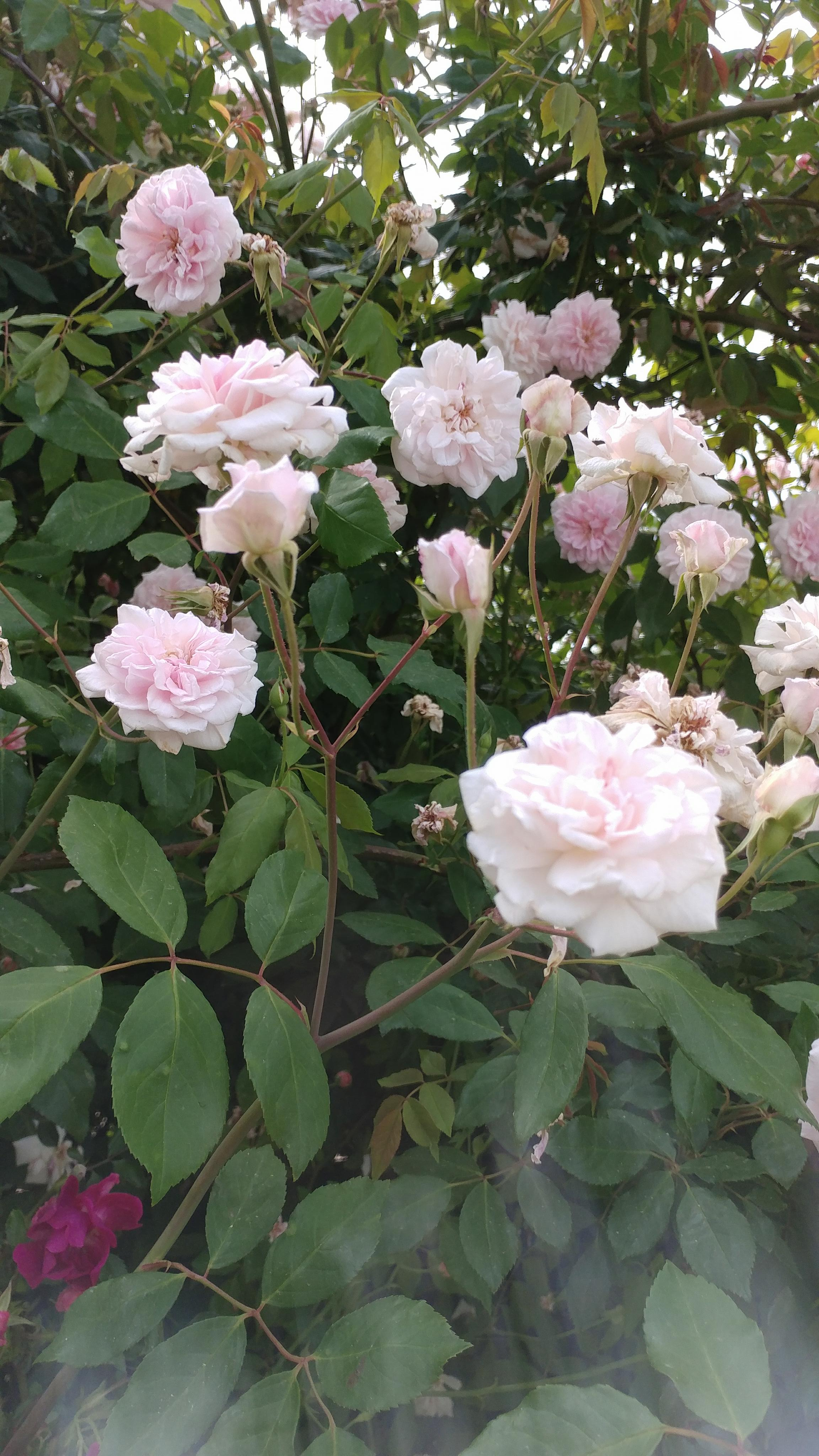 Cultivated Rose species. Photo by Heidy Adams.