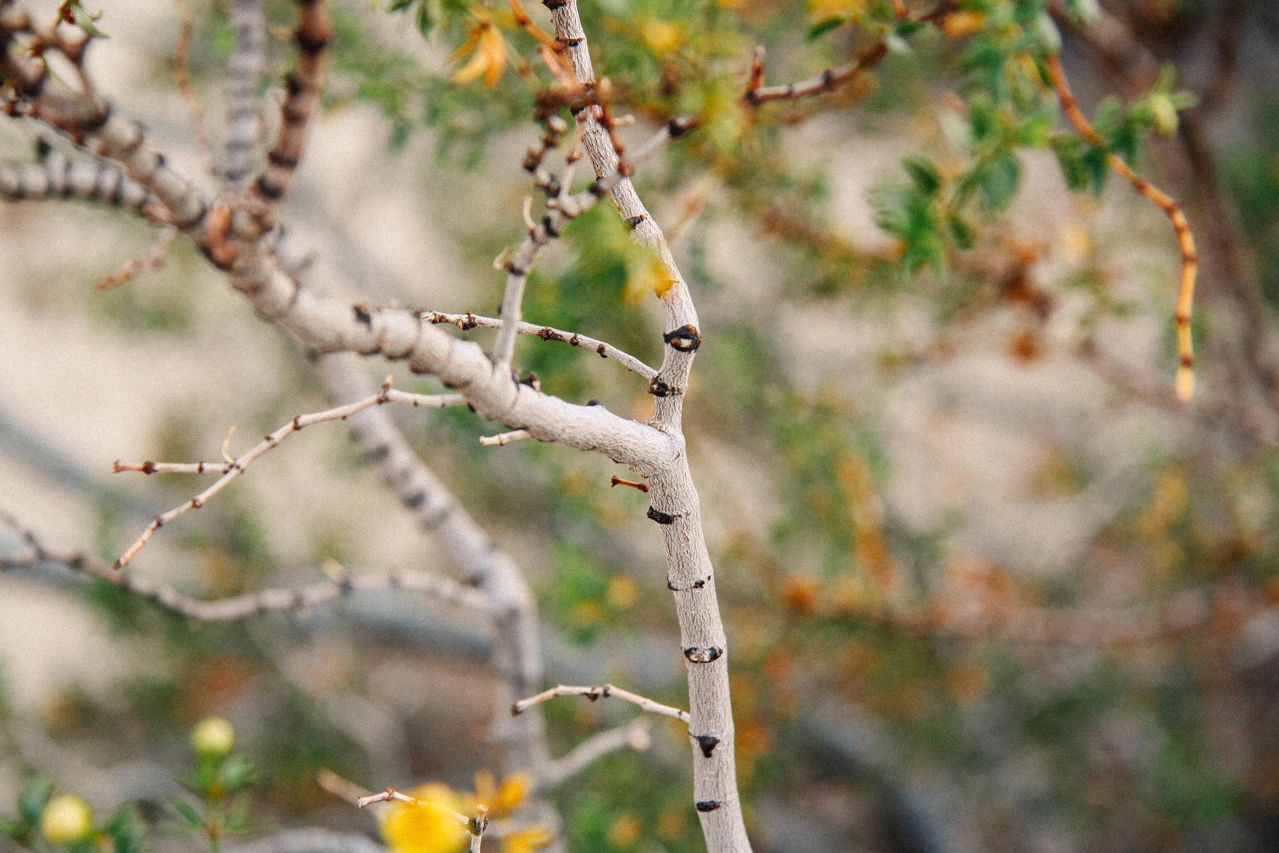 Larrea tridentata  near Joshua Tree, CA 2018.