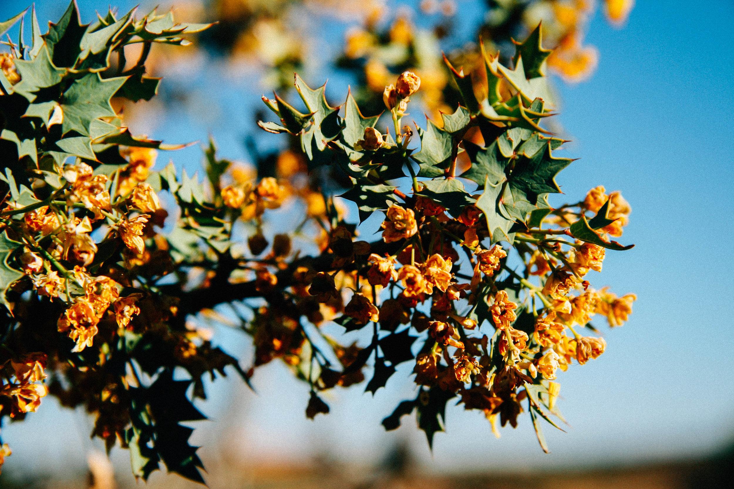 Fremont Barberry,  Mahonia fremontii  (Berberidaceae)