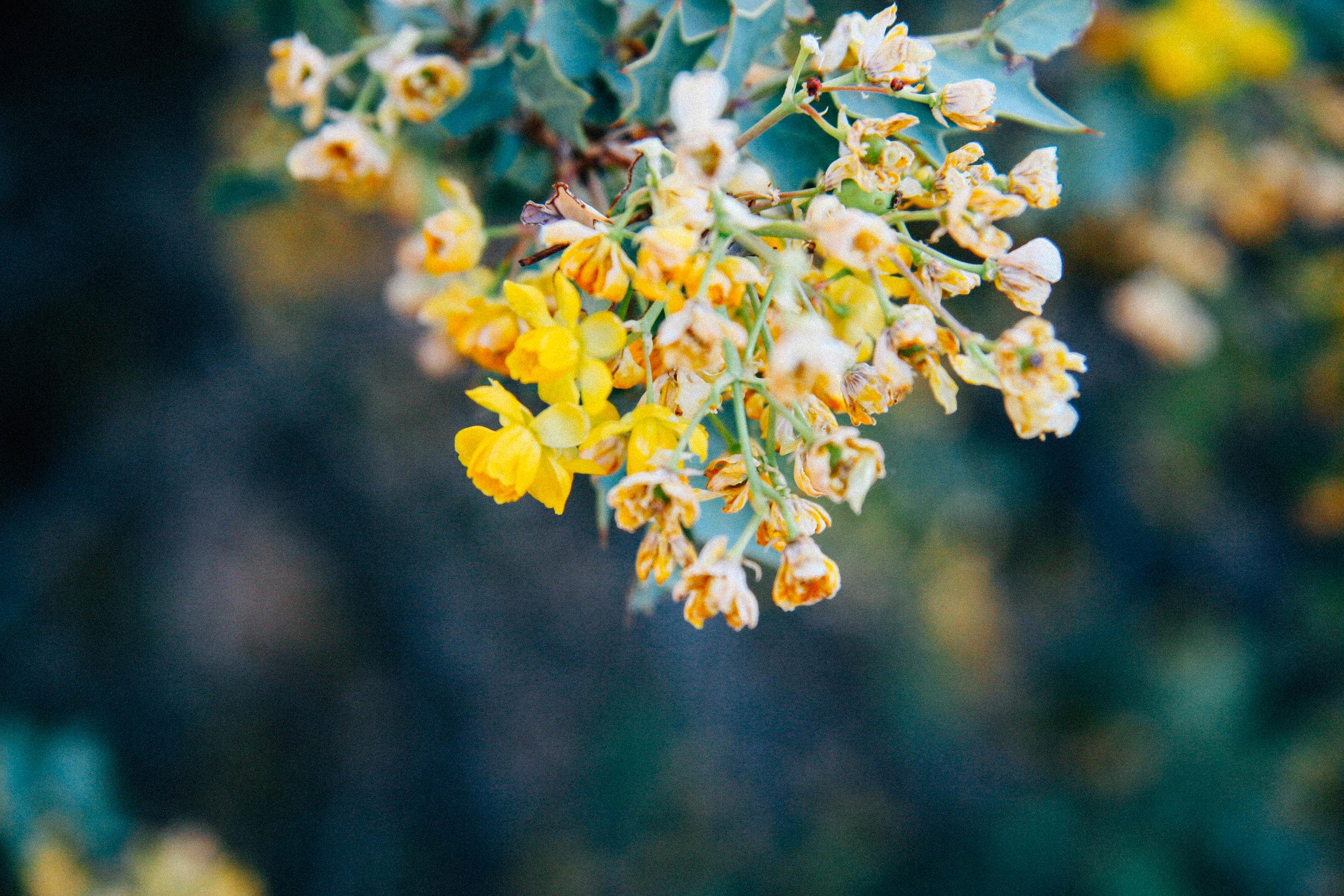 Fremont Barberry  Mahonia fremontii  (Berberidaceae)