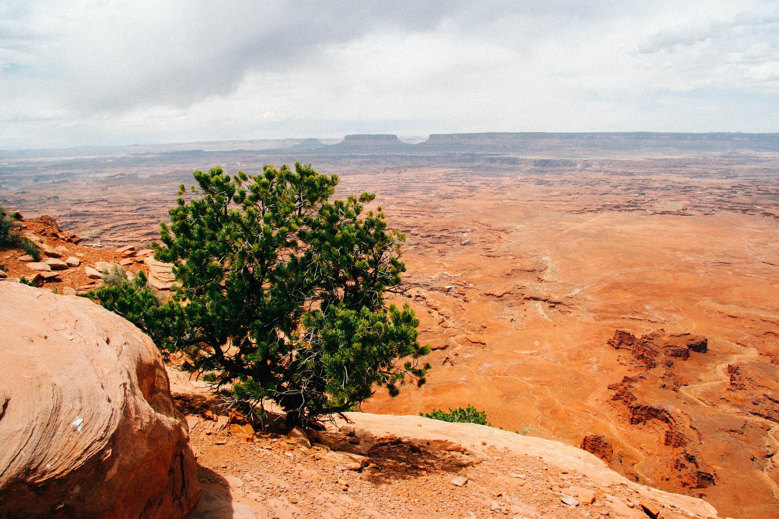 Needles District, Canyonlands National Park, Utah.  Two-needled Pinon Pine.  Pinus edulis  (Pinaceae)