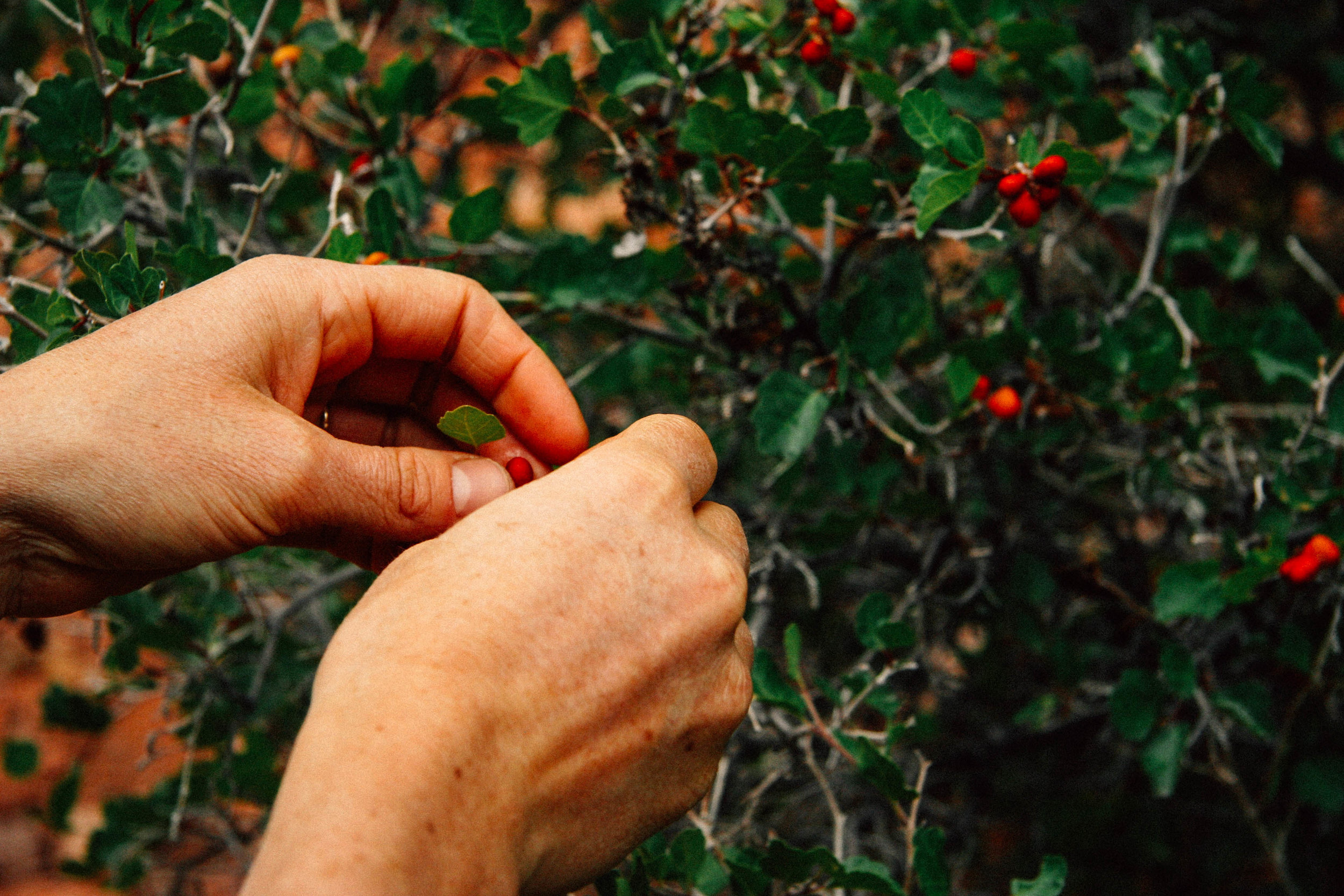 With Emily Stock, eating the Vitamin C rich berries of Three-Leafed Sumac, Sourberry, Skunkbush,  Rhus trilobata  (Anacardiaceae)