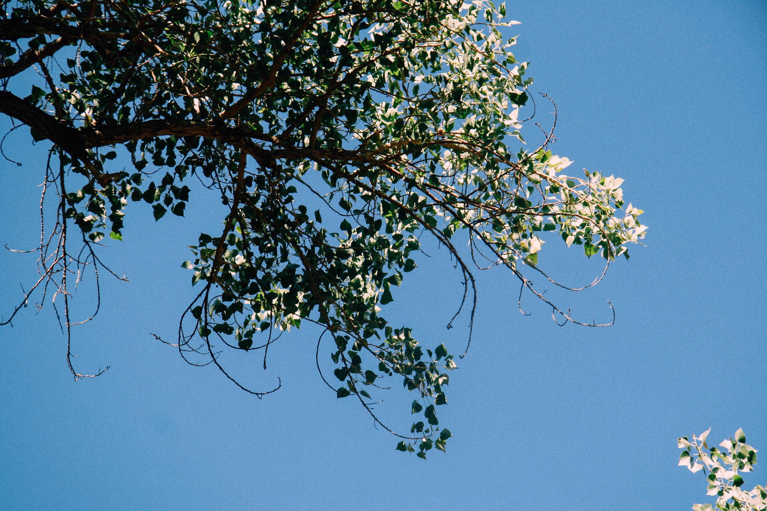 Cottonwood,  Populus fremontii  (Salicaceae)