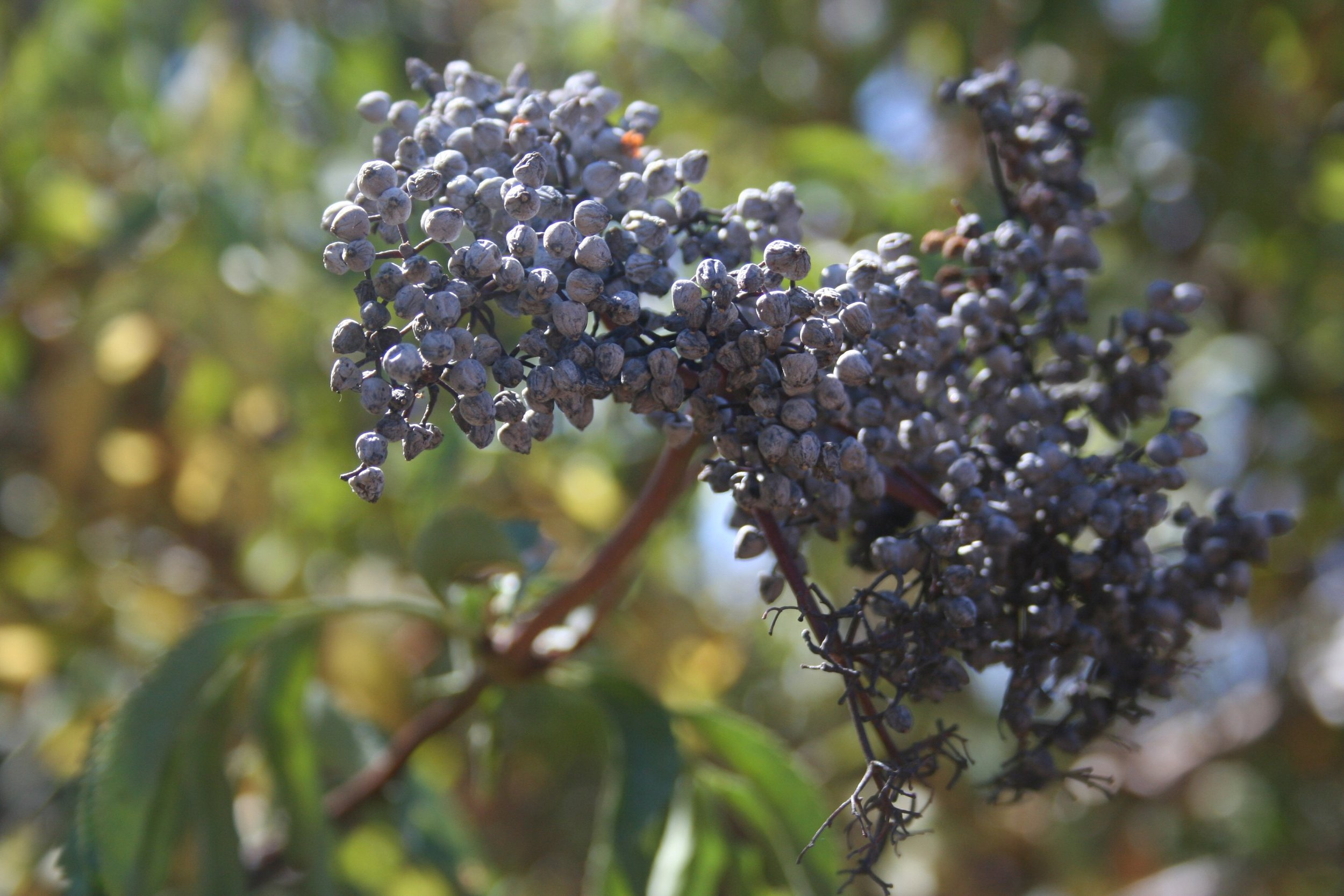 Blue Elder in Yosemite NP. Photographed in September (2016?) the berries are wilted from the sun but still usable.