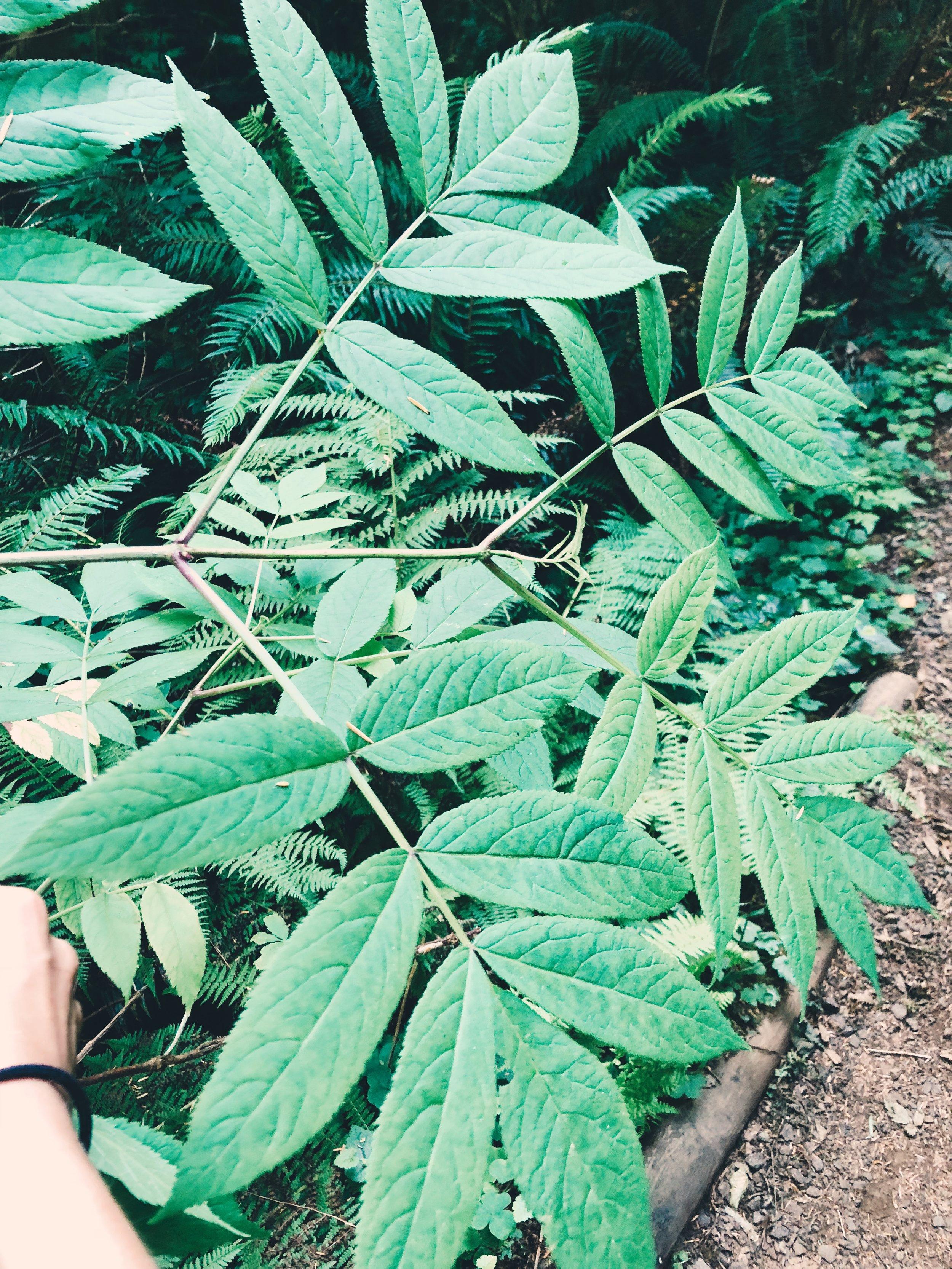 opposite leaves.