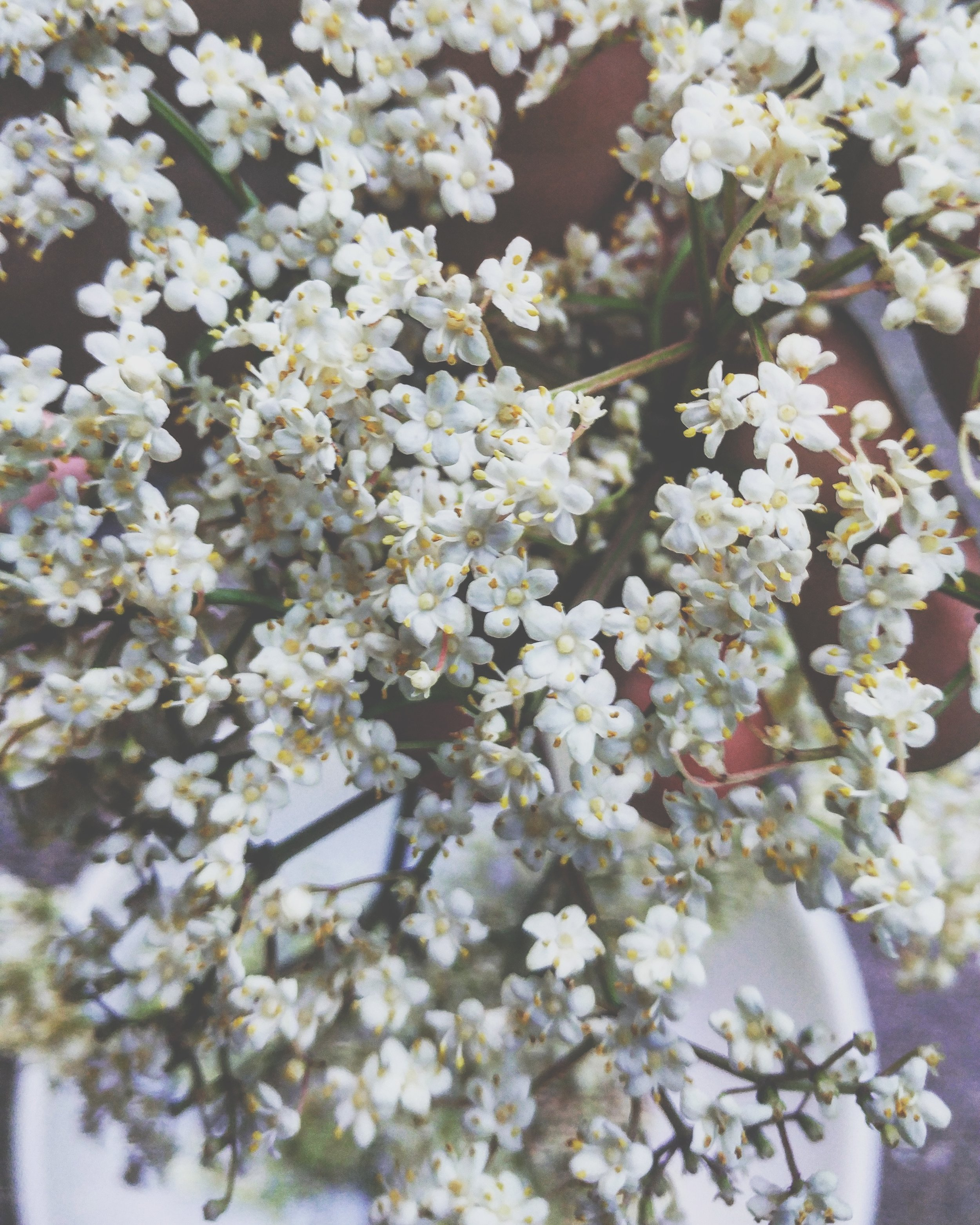 Elderberry flowers in Virginia. Photo Credit: Allie Hawley of  Fiddlehead Farm and Apothecary.