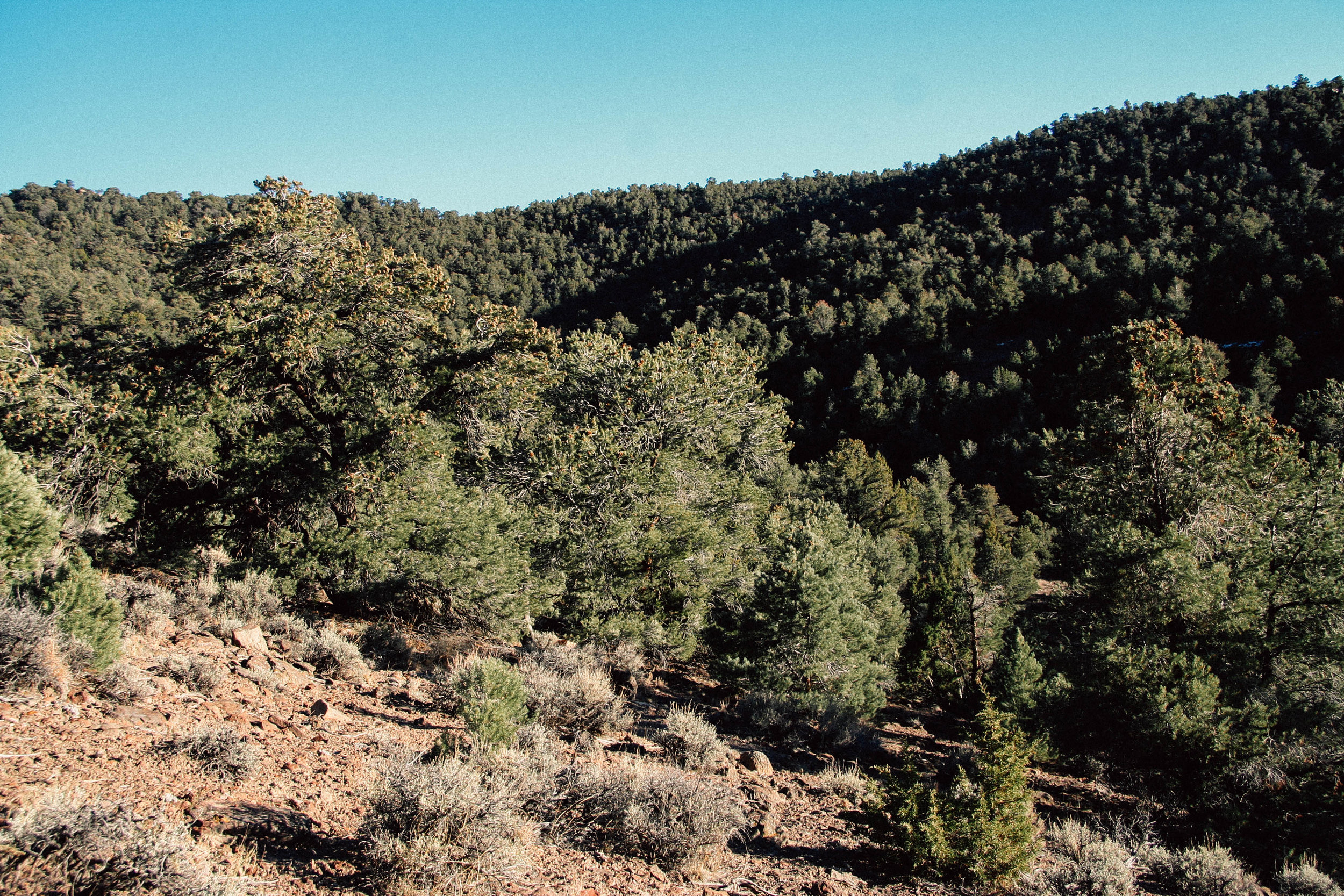 Juniper Piñon woodland, Nevada. 2017.