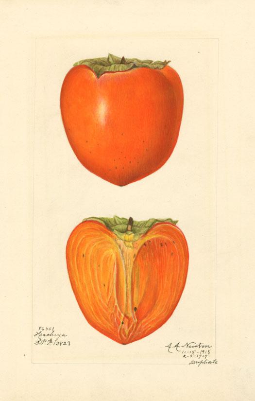 Japanese persimmon (variety Hachiya) - watercolor 1887 drawn by Amanda A. Newton (USDA)