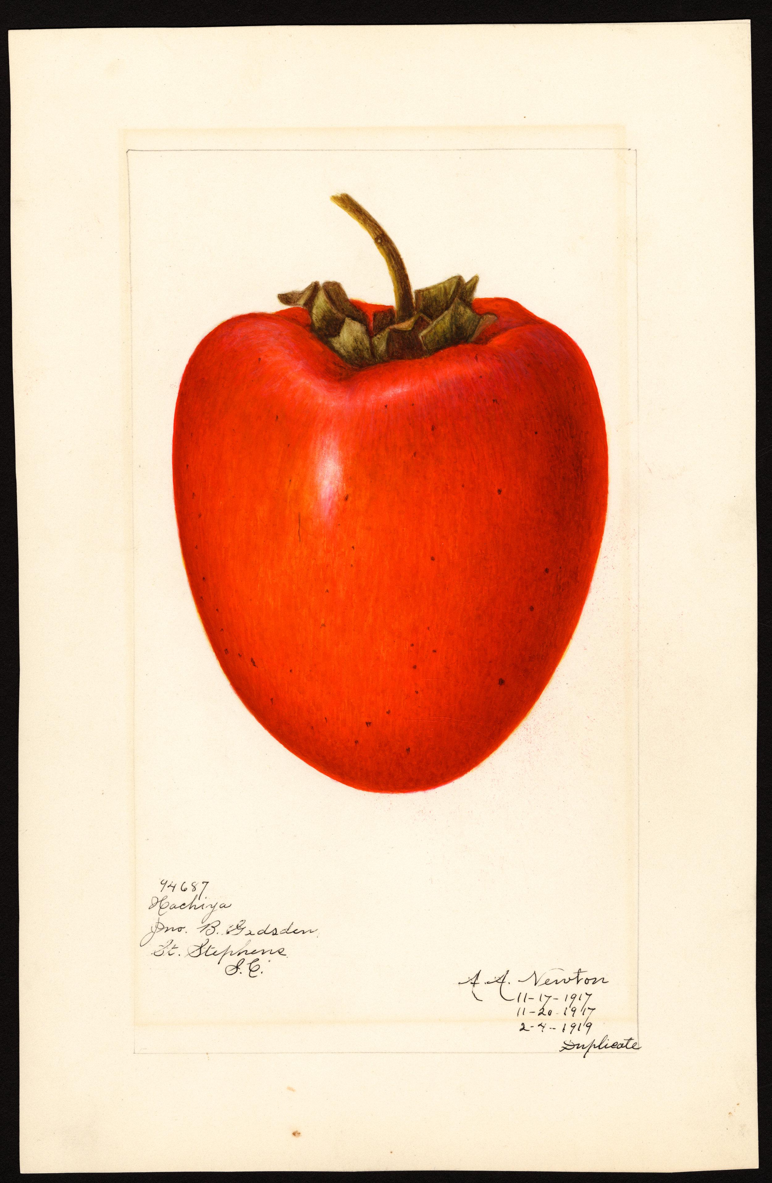 Japanese persimmon (variety Hachiya) - watercolor 1917 drawn by Amanda A. Newton (USDA)