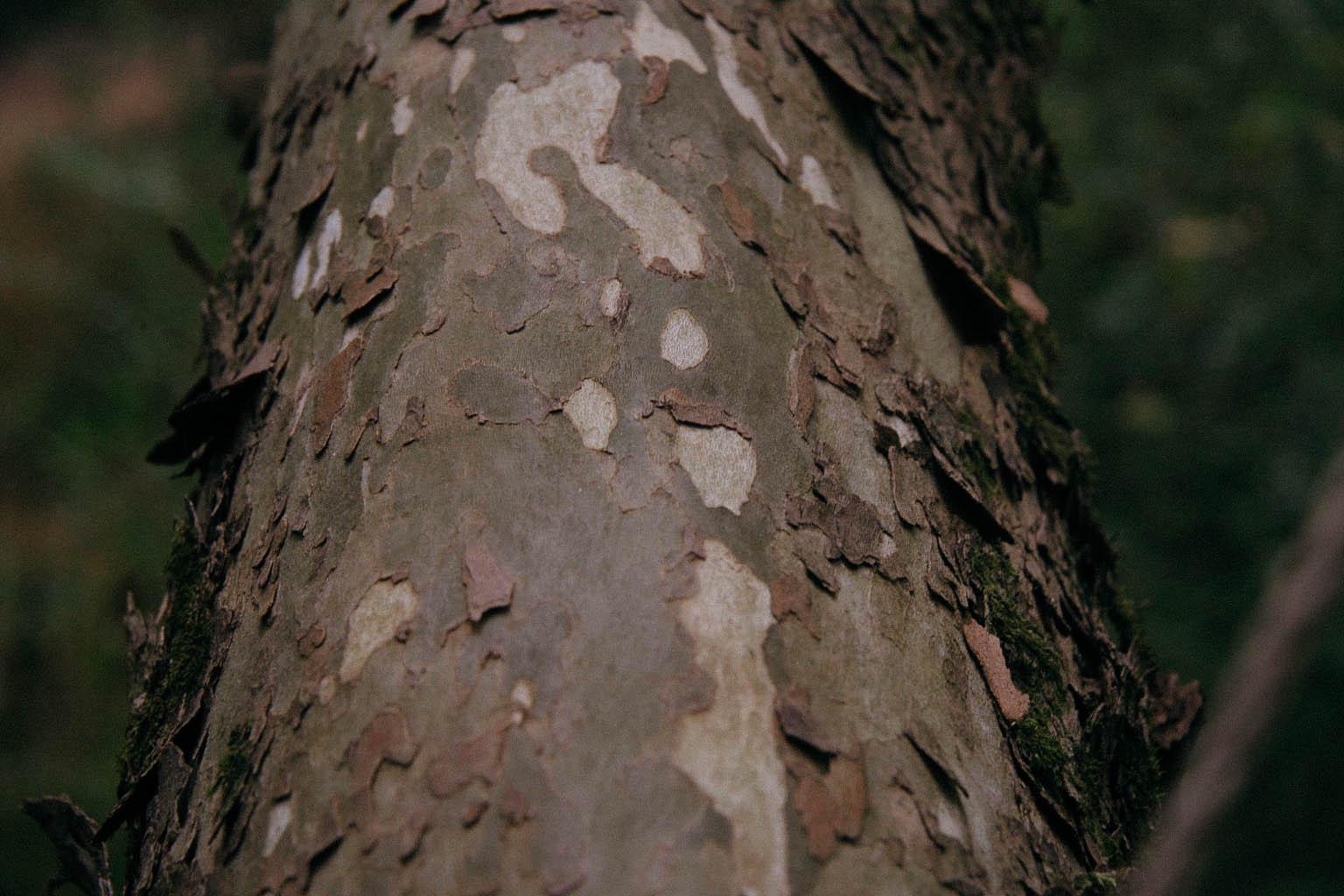 Sycamore -  Platanus occidentalis