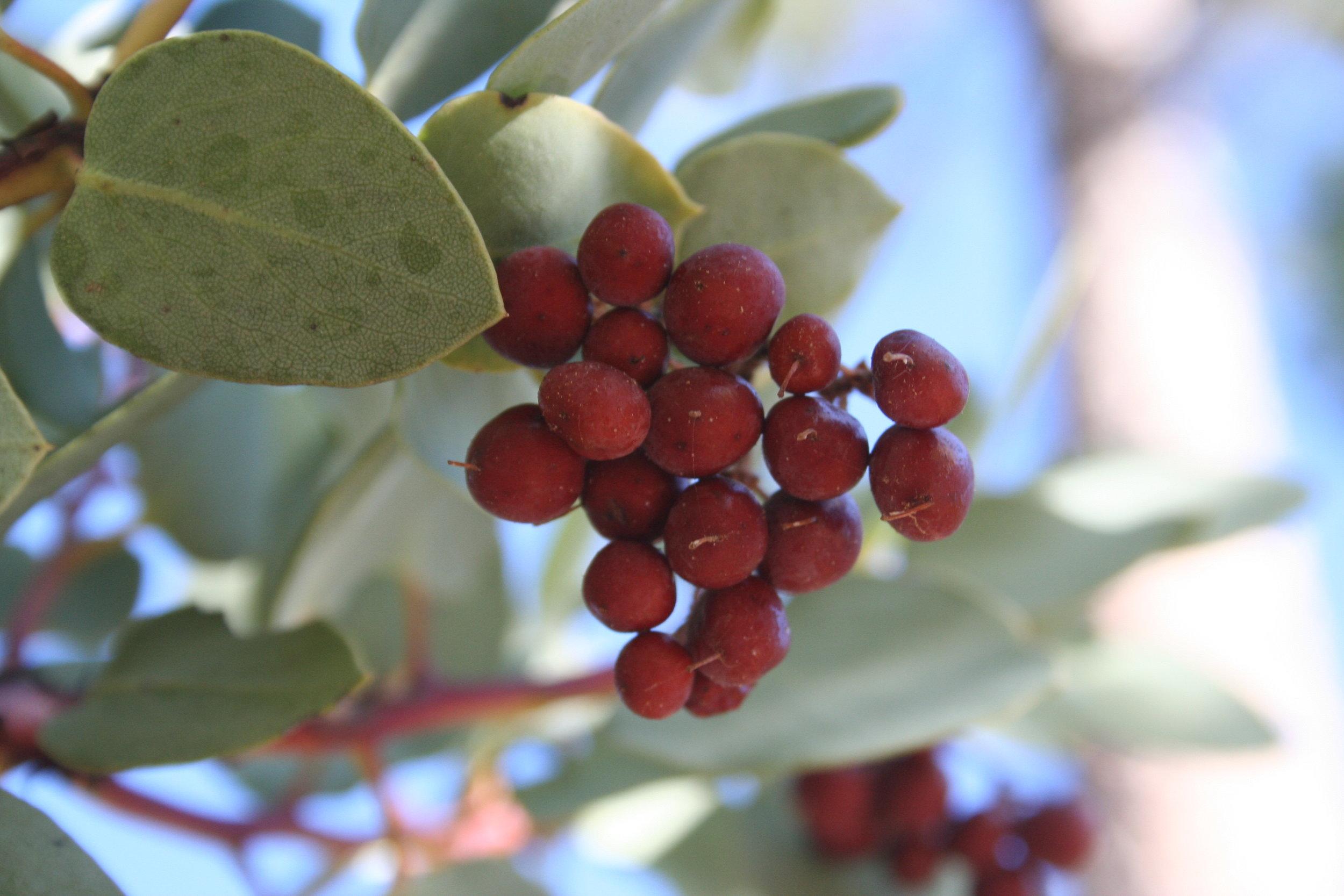 Manzanita with fruit