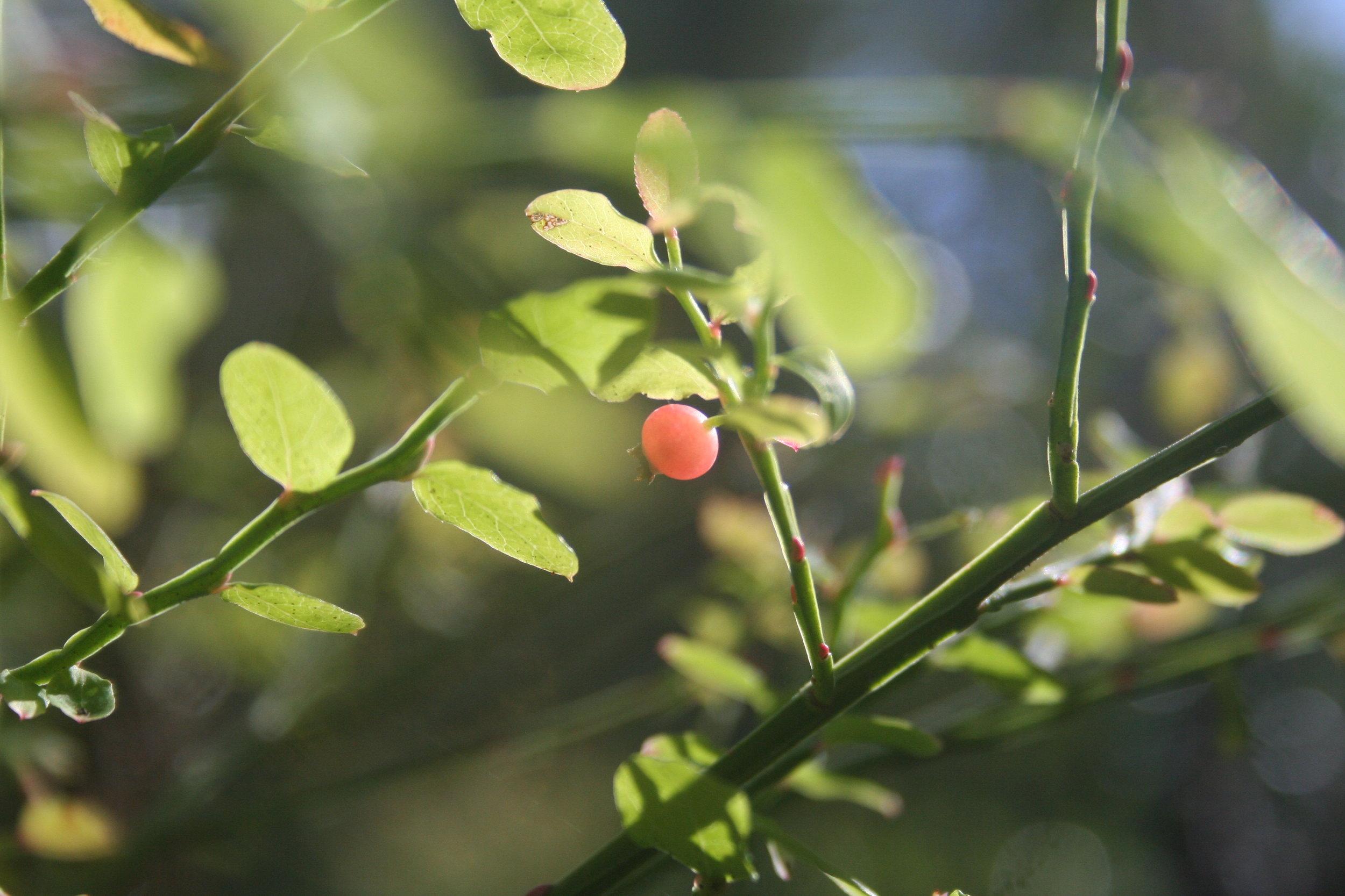 Likely  Vaccinium parvifolium  - Jug Handle State Reserve - on the coast near Mendocino, CA.