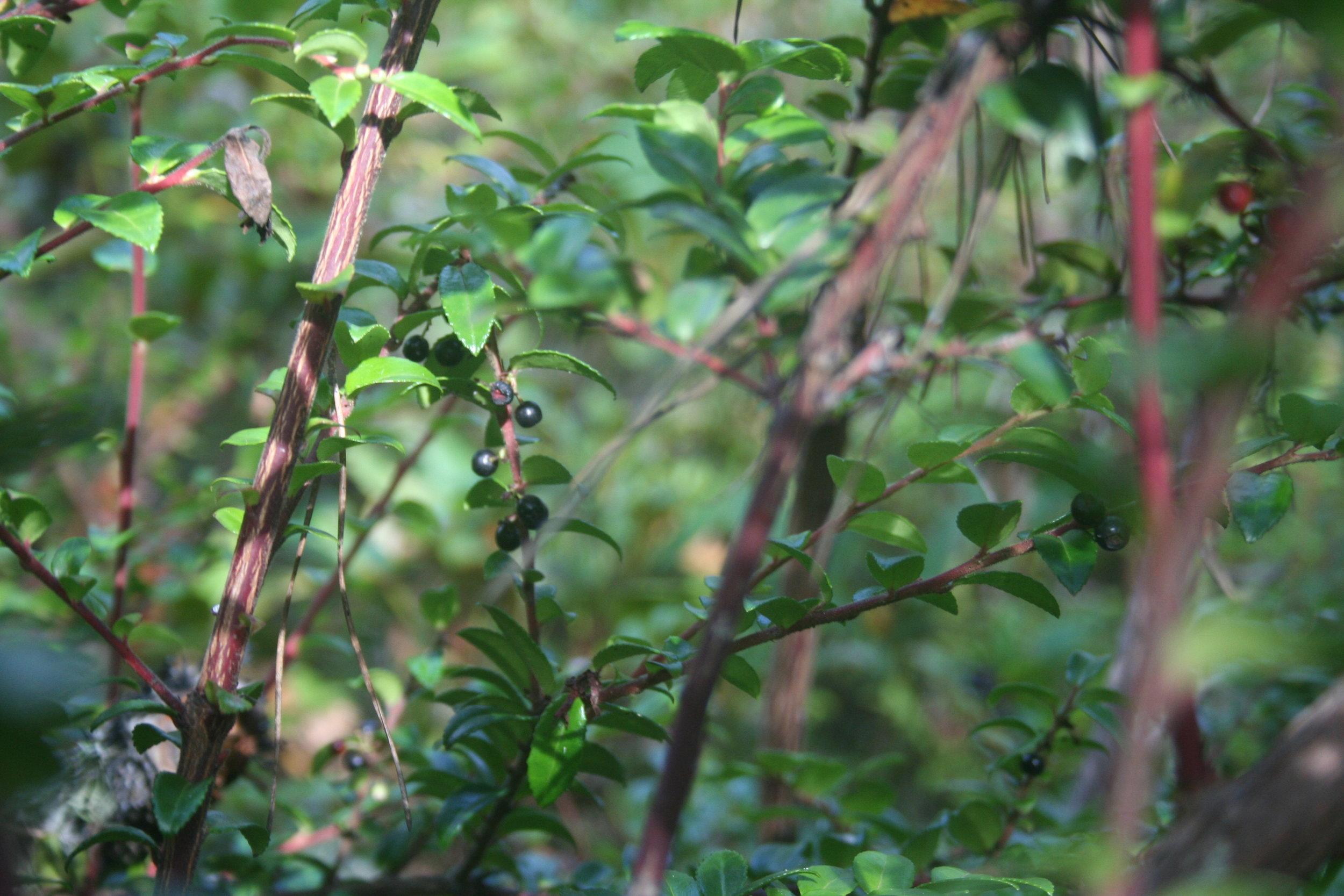 evergreen 'blue' fruiting  Vaccinium ovatum.  Mendocino coast, California.