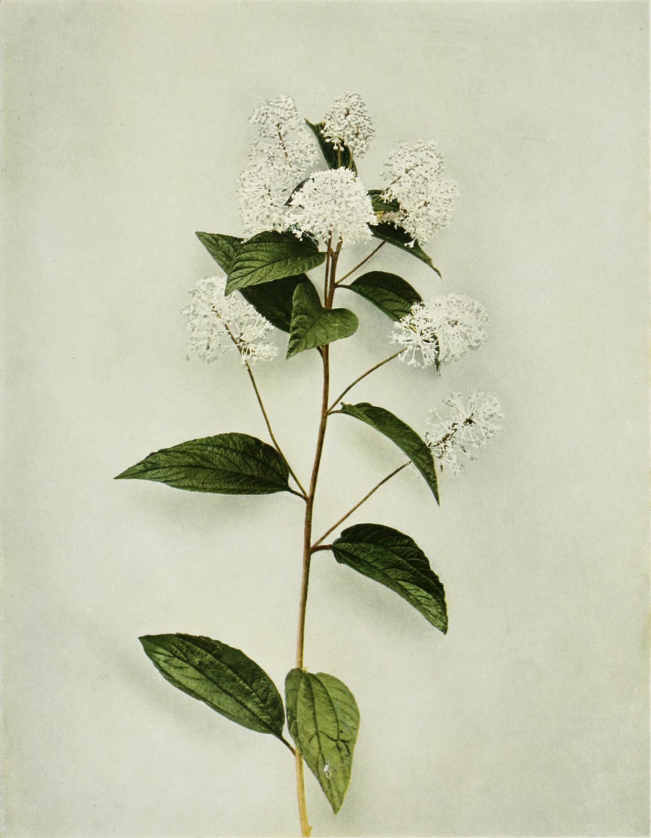 Ceanothus_americanus_WFNY-126_(17804947124).jpg