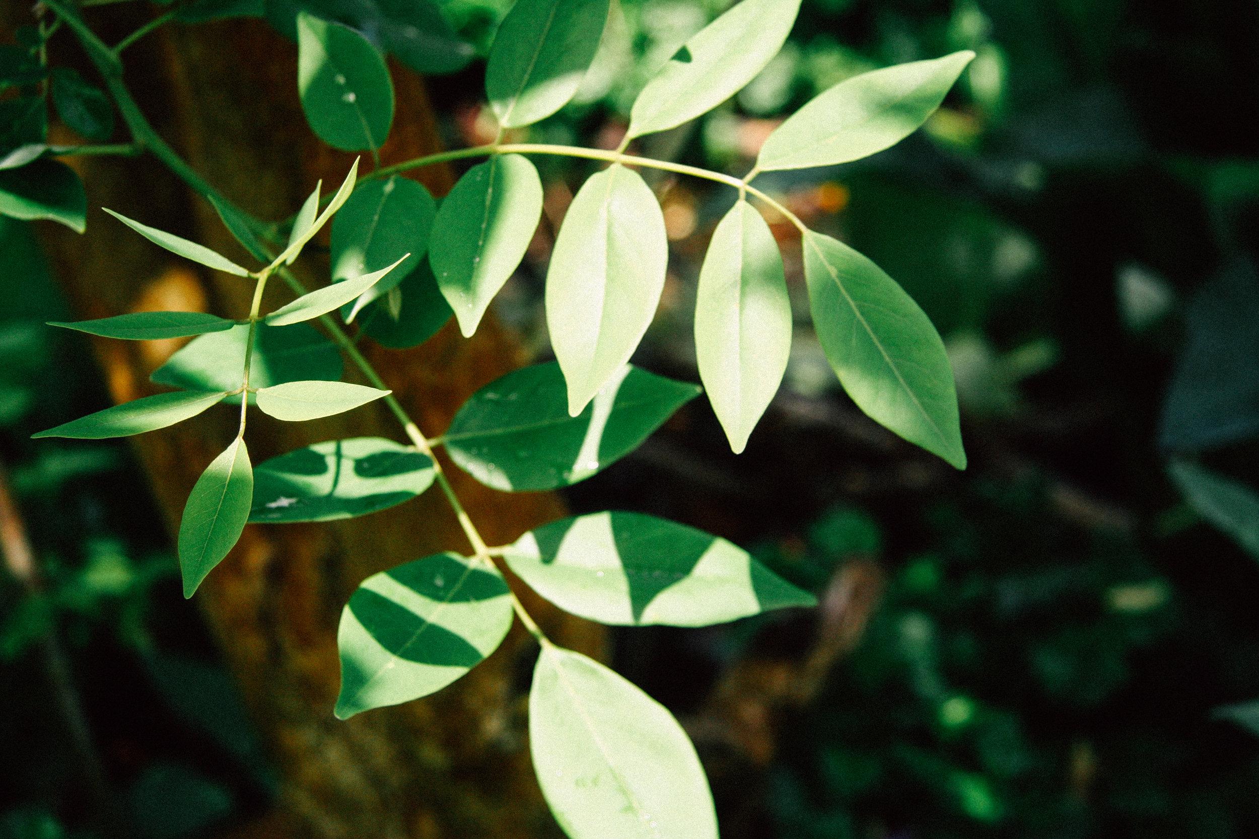 Gliricidia,  Gliricidia sepium  (Fabaceae)