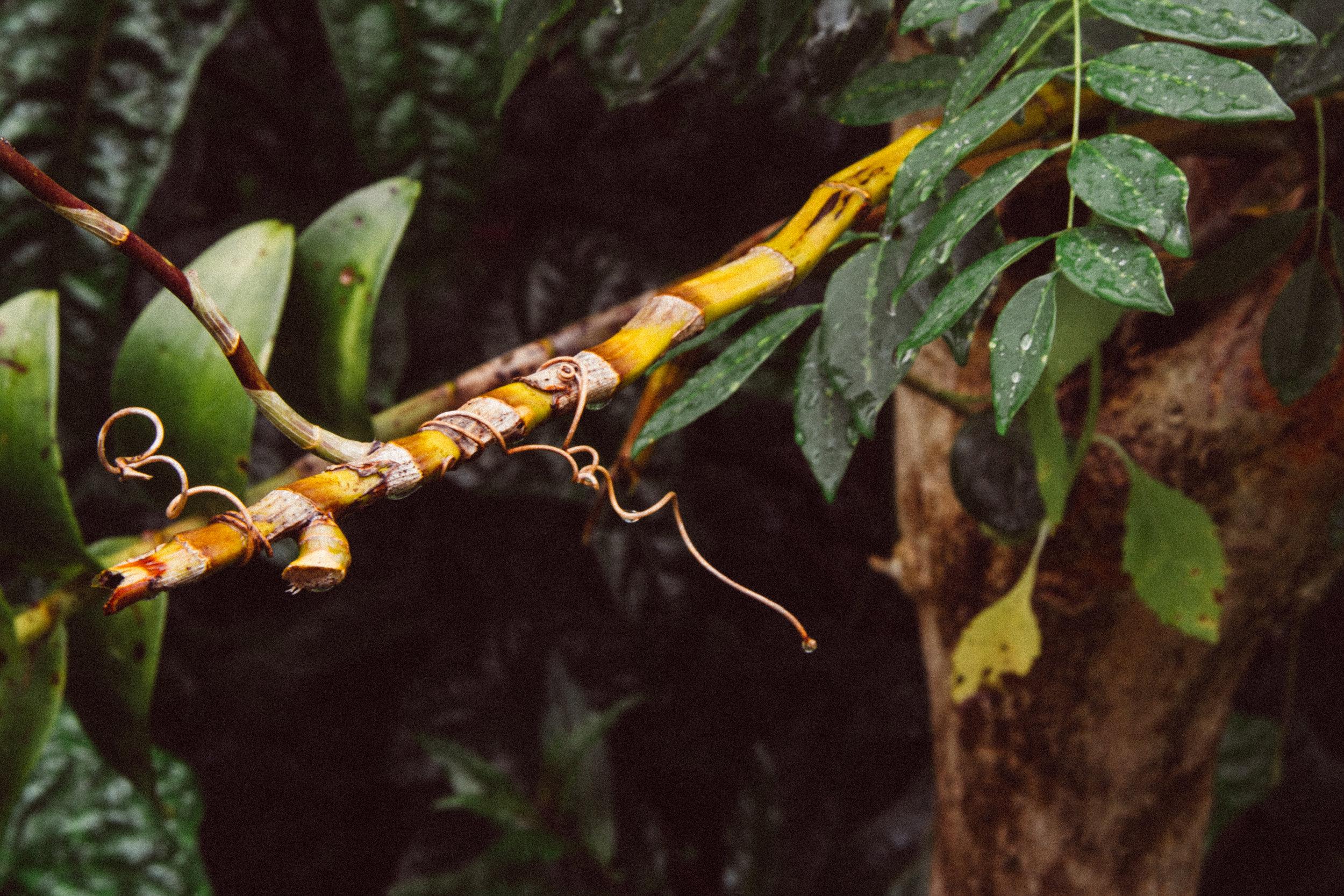 Dendrobium sp.  (Orchidaceae)