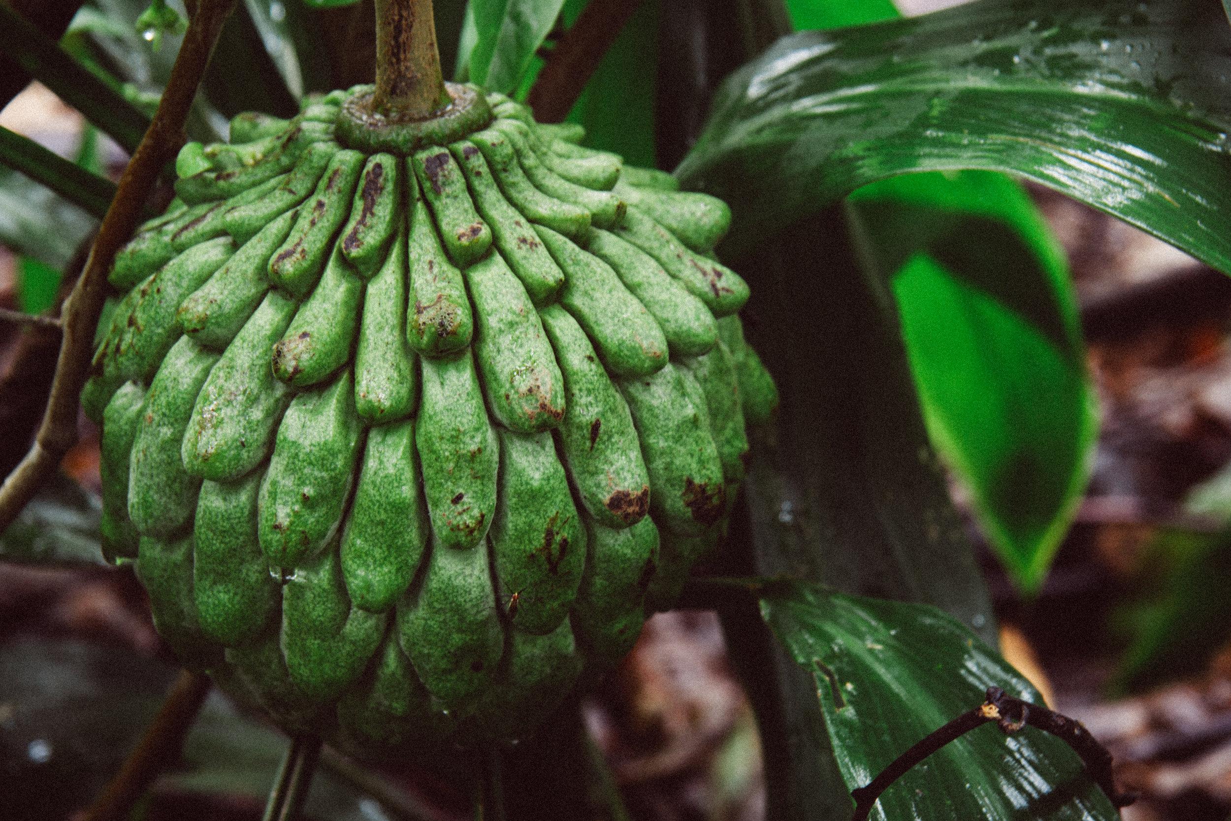Rollinia,    Rollinia deliciosa,  (Annonaceae)