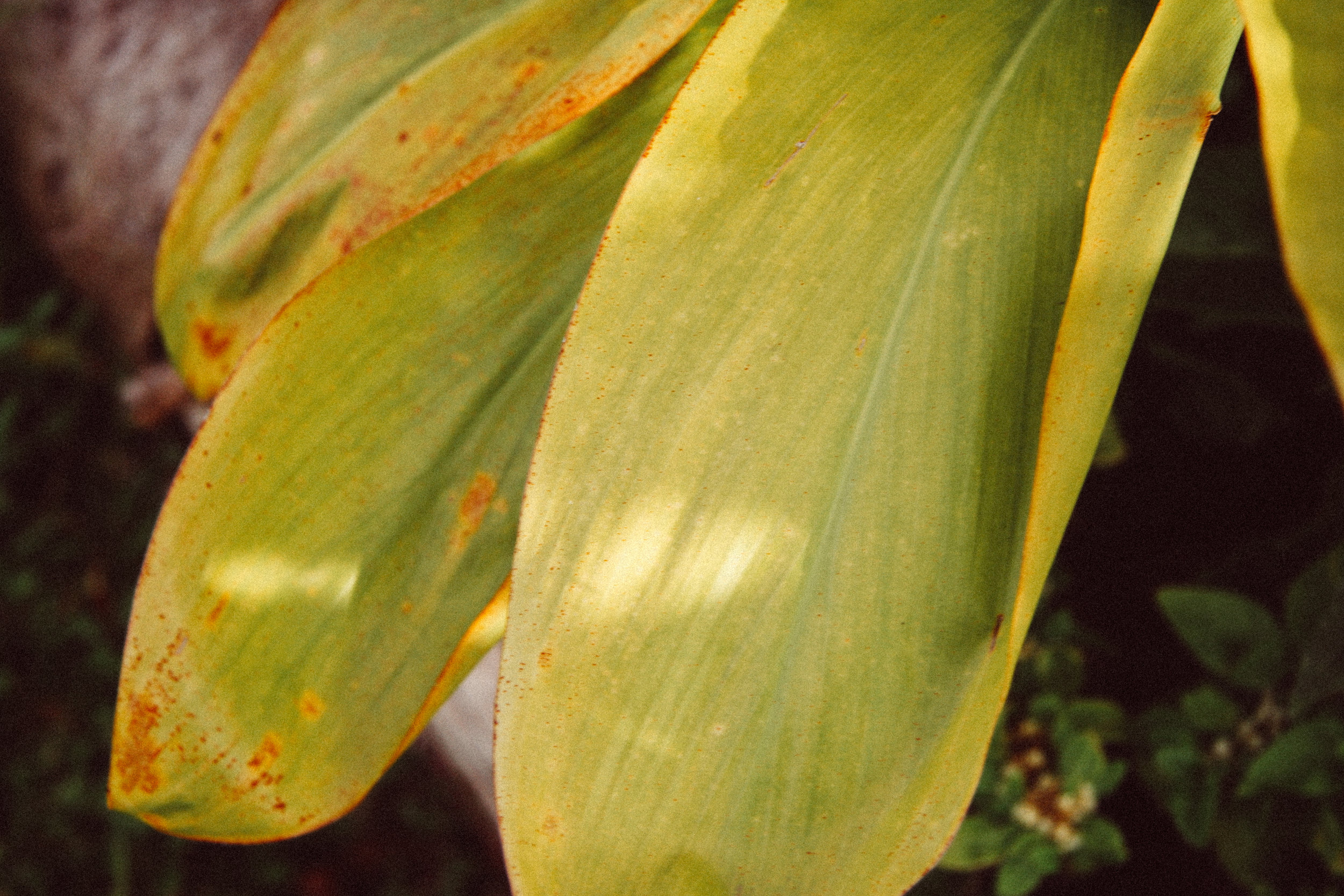 kī / ti,  Cordyline fruticosa , (Agavaceae)