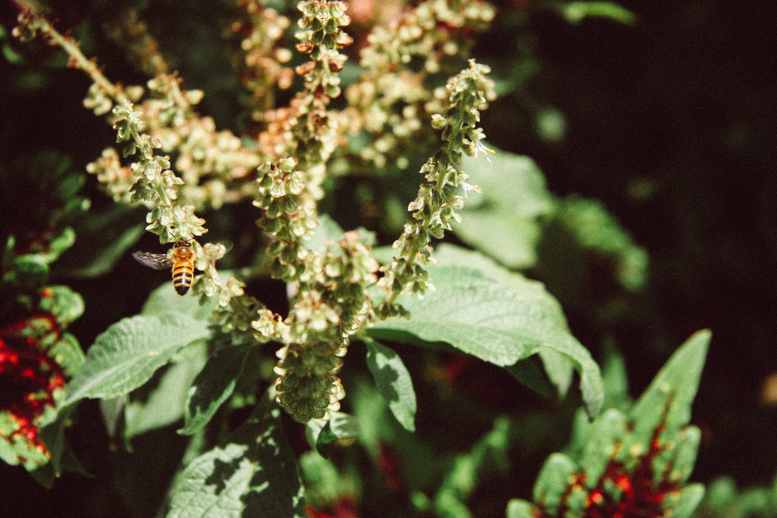 honeybee on a Bush/African Basil,  Ocimum gratissimum,  (Laminaceae)