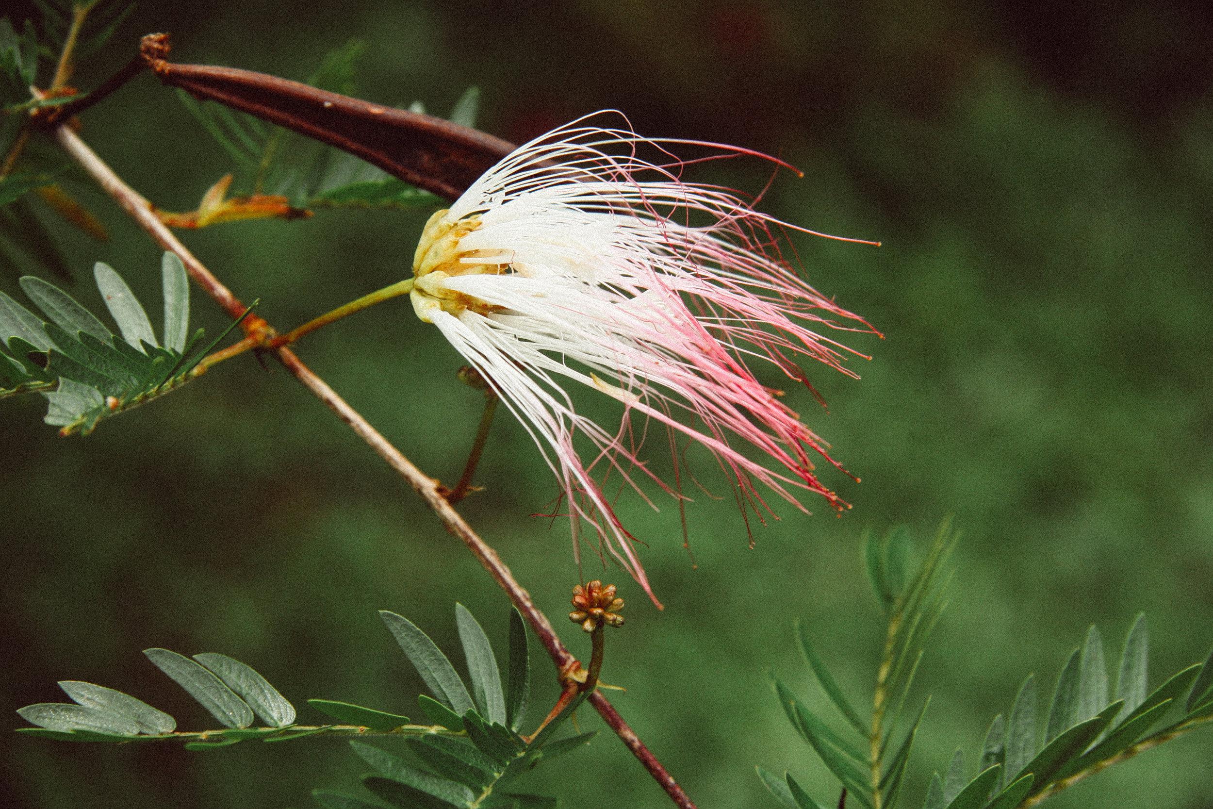 Pink Powderpuff,  Calliandra haematocephala  (Fabaceae)