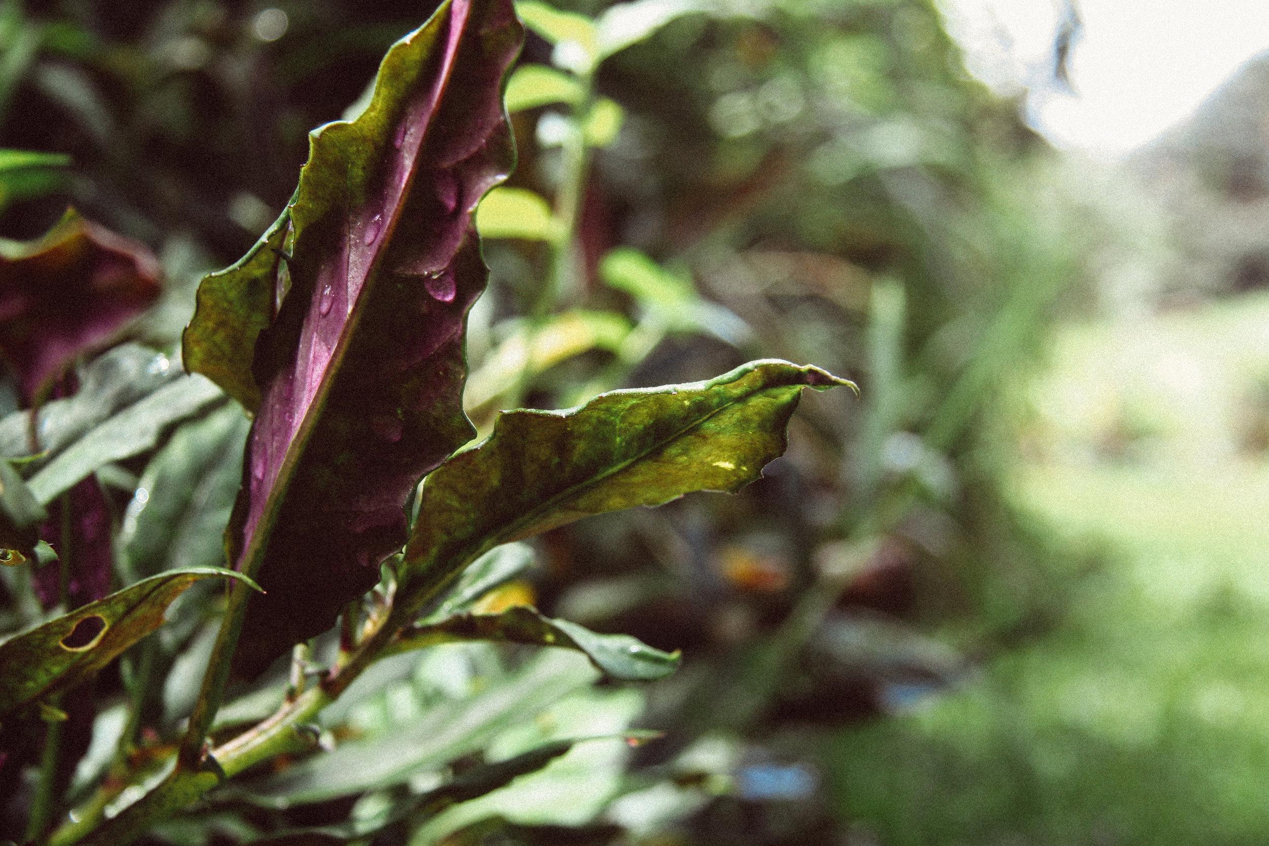 Okinawan Spinach,    Gynura bicolor ( Asteraceae)