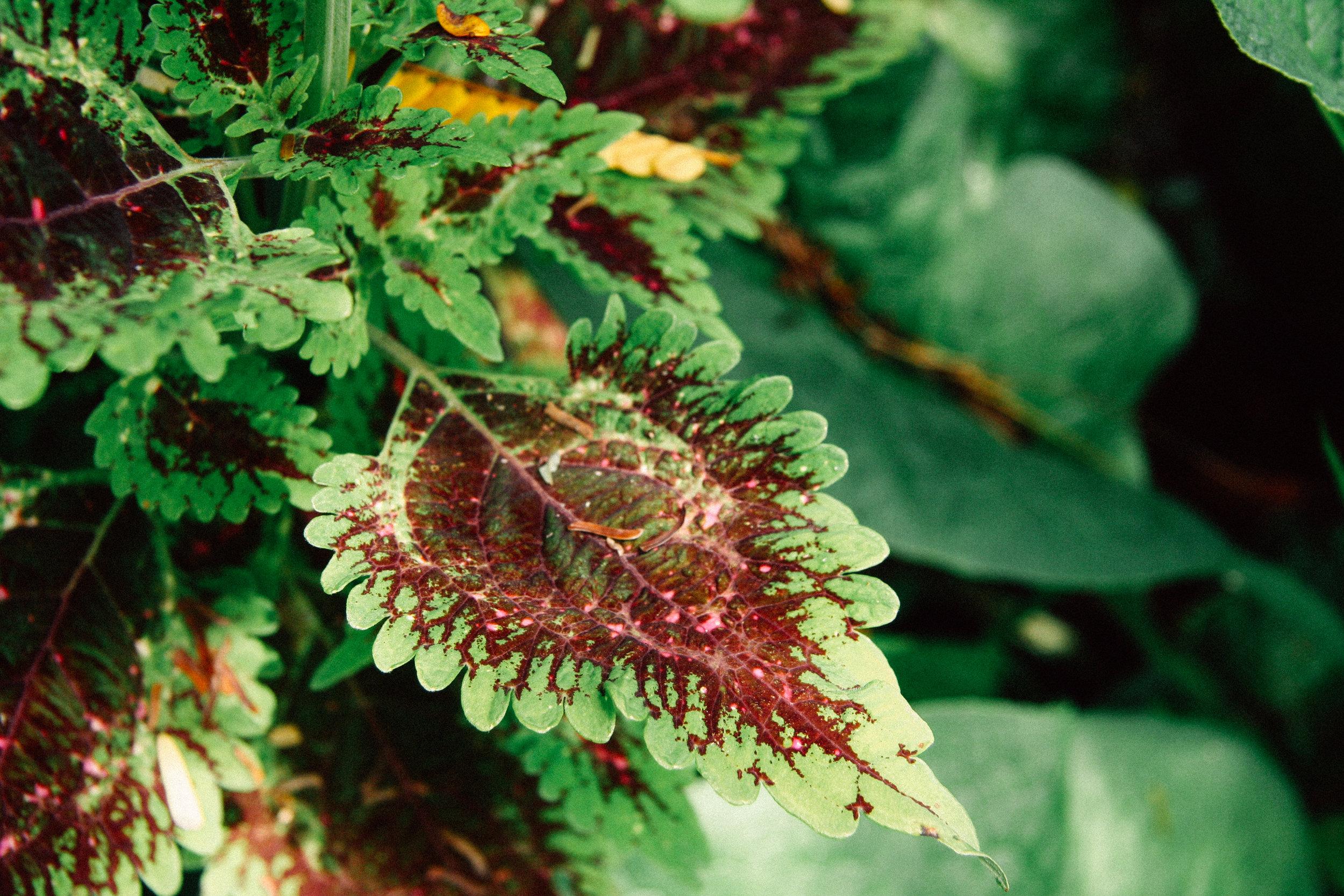 Coleus,  Plectranthus spp. (Lamiaceae)