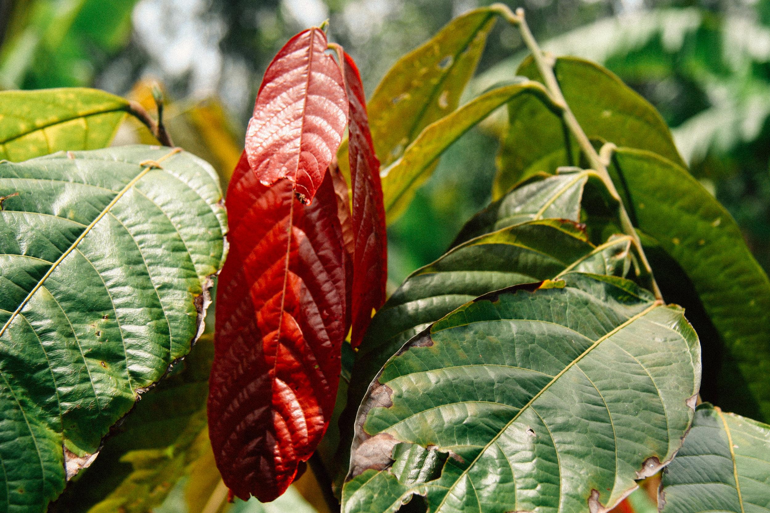 Cacao,  Theobroma cacao,  (Malvaceae)